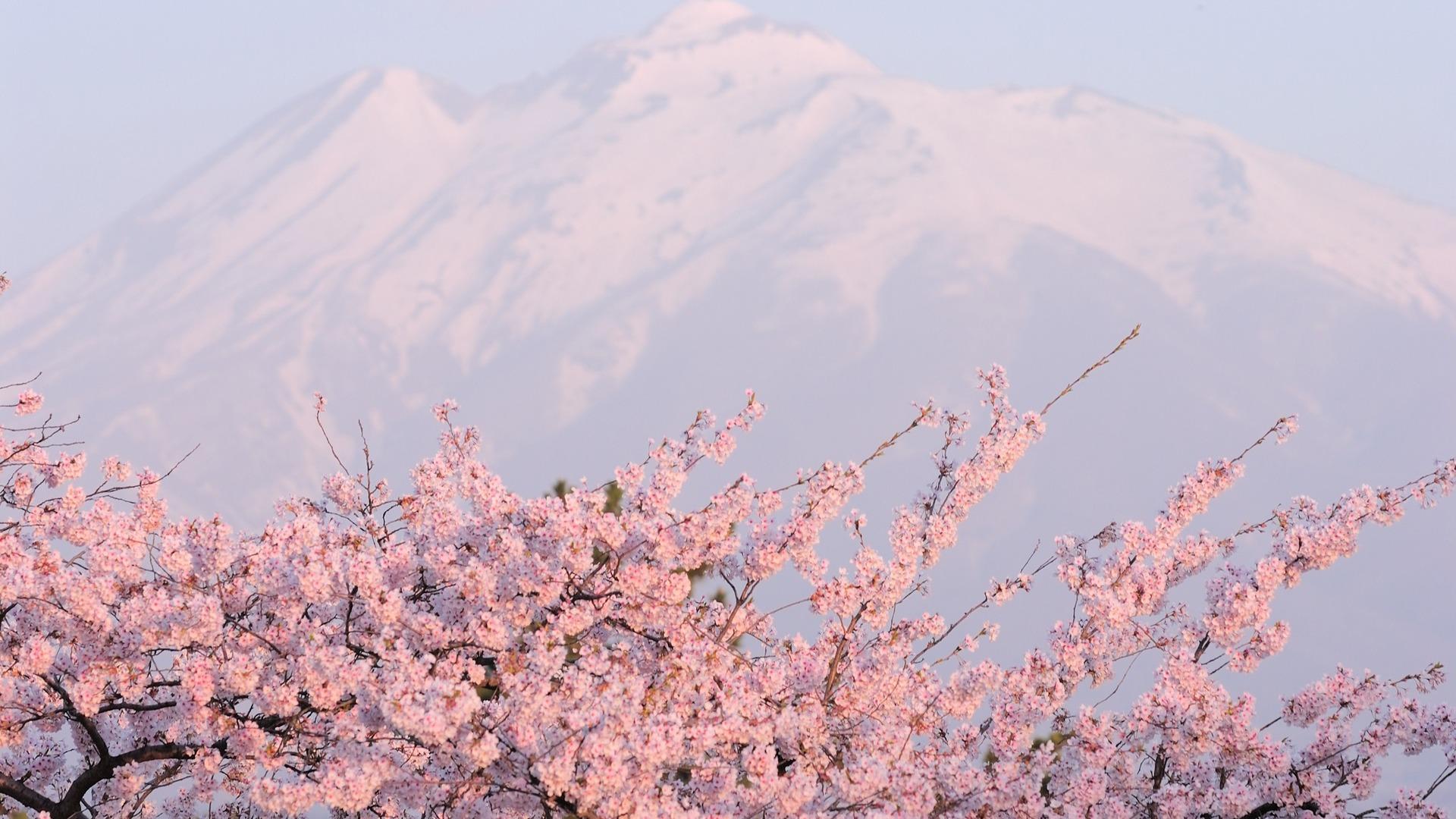 Sakura Flower 20975