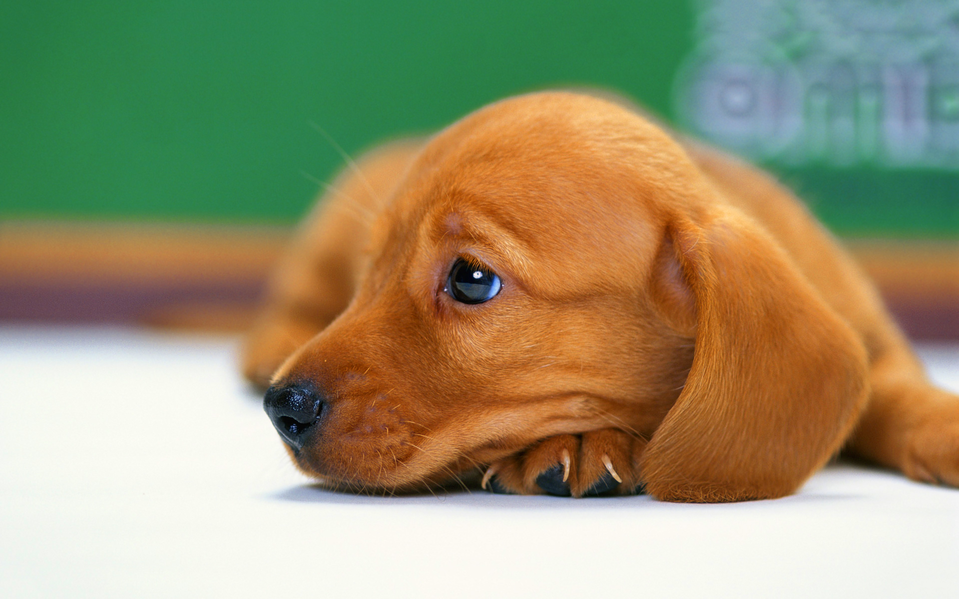 Sausage dog puppy