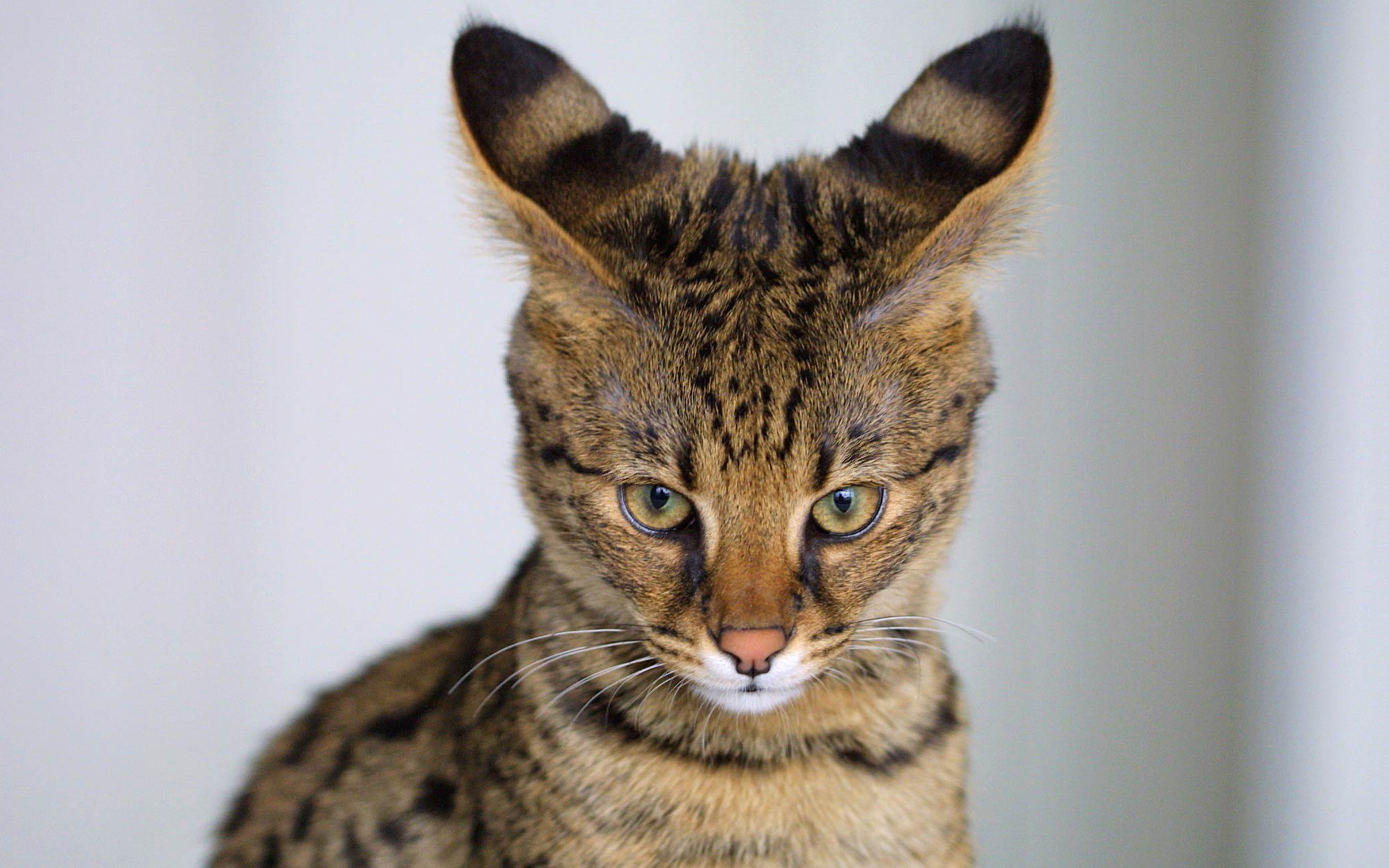 Savannah Cat free wallpapers hd