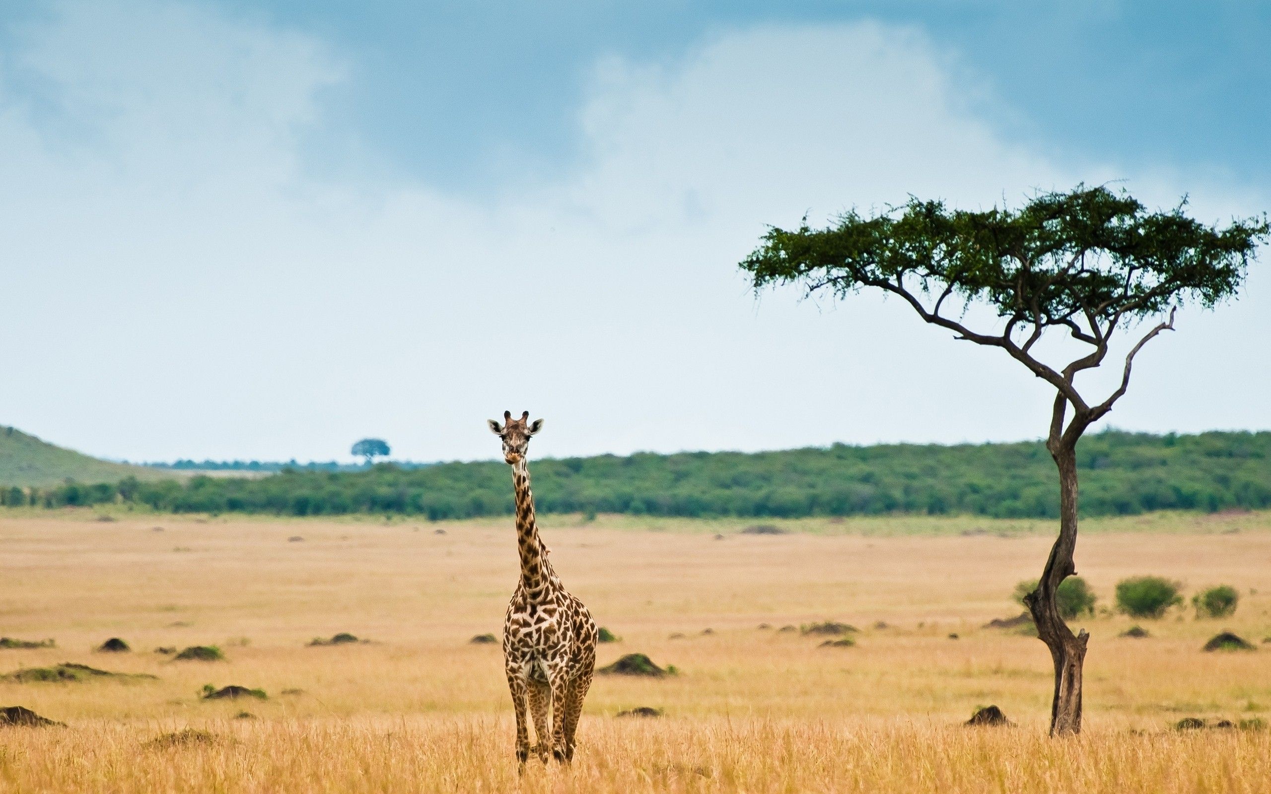 Giraffe Savannah Desert