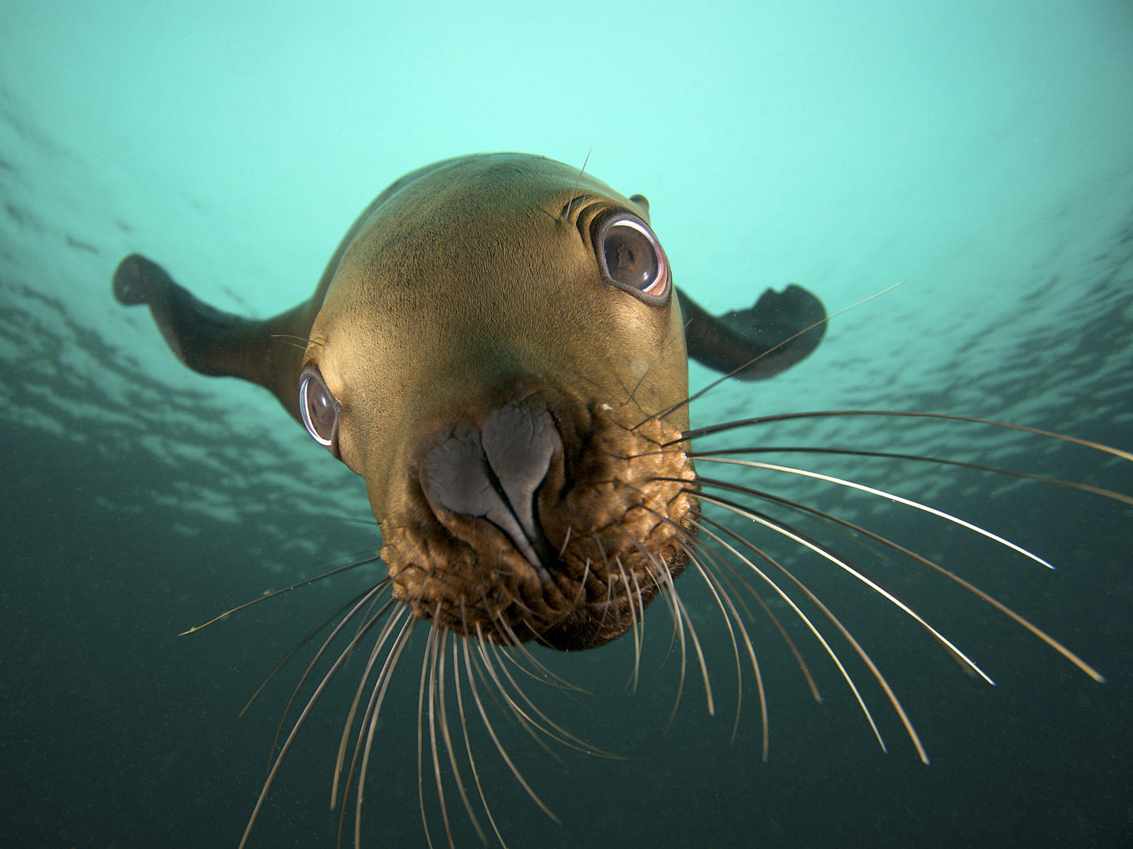Sea Lion 9637 1600x1200 px