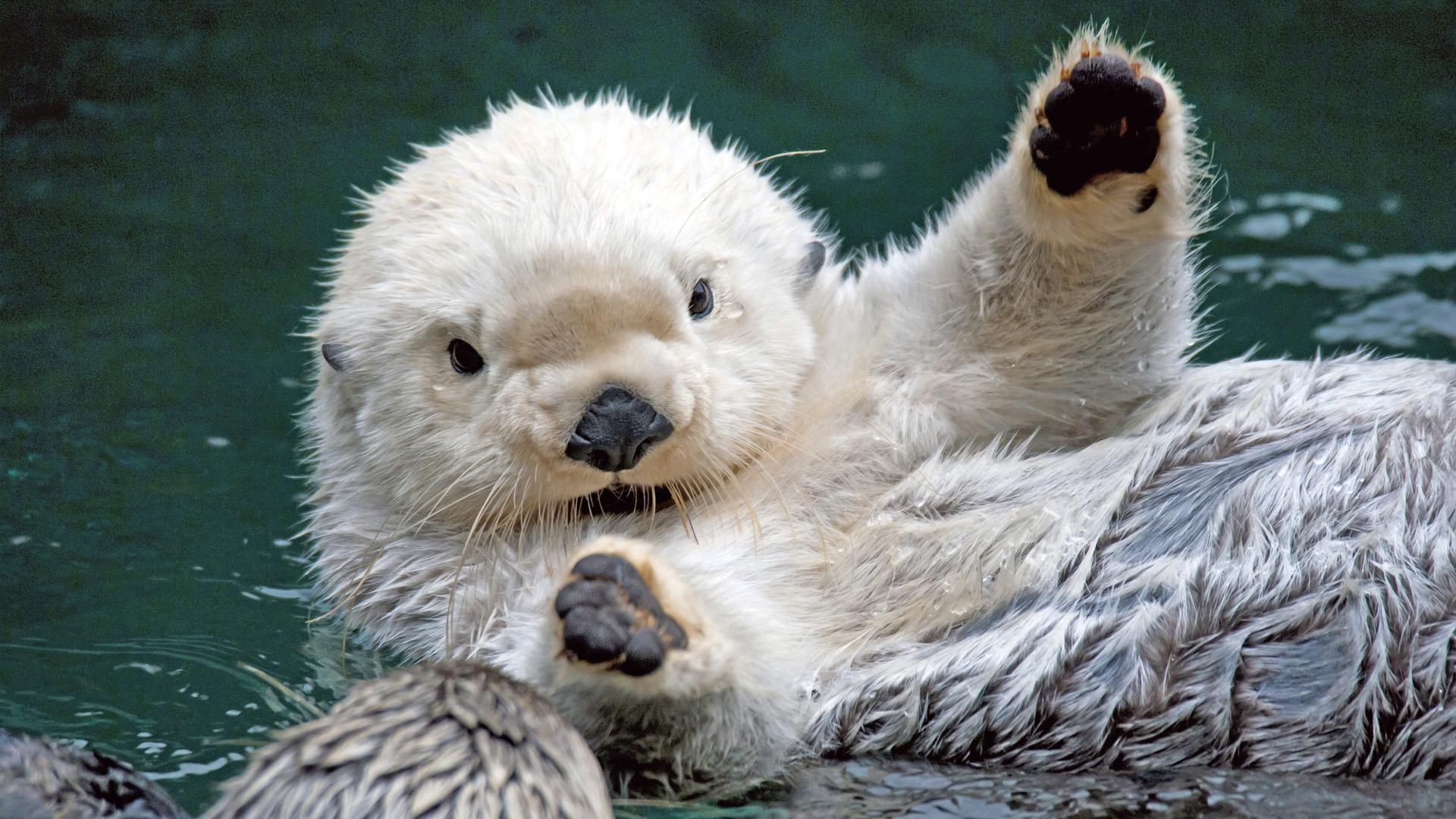 Sea Otter Desktop HD Wallpapers-2