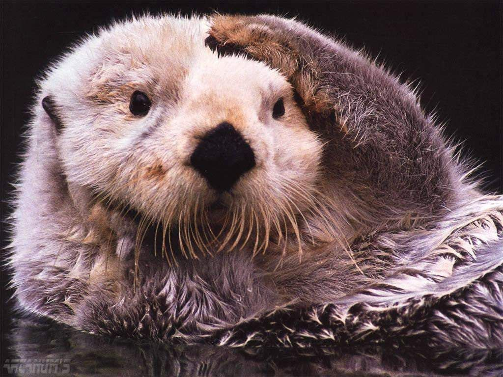 Sea Otter Wallpaper 1024x768 1491