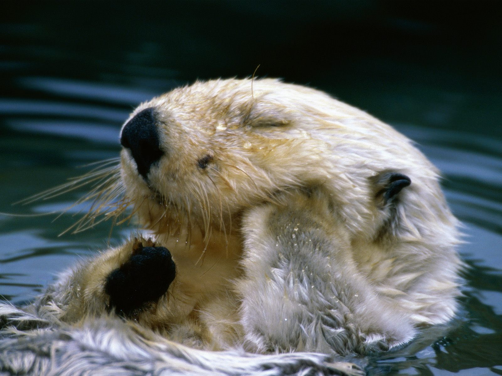 ... swimming having fun in the water sea otter pictures 1600x1200.jpg ,animals wallpapers, ...