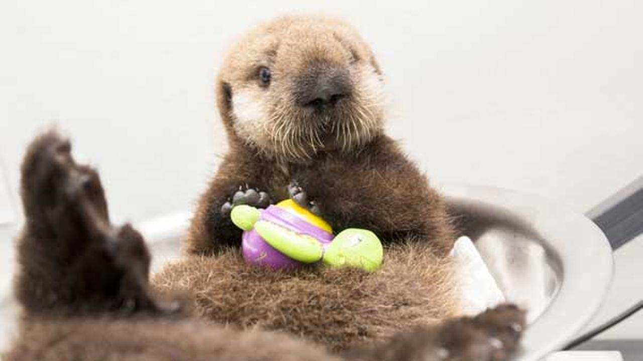 CUTE VIDEO: Baby sea otter makes a home at Shedd Aquarium | 7online.com
