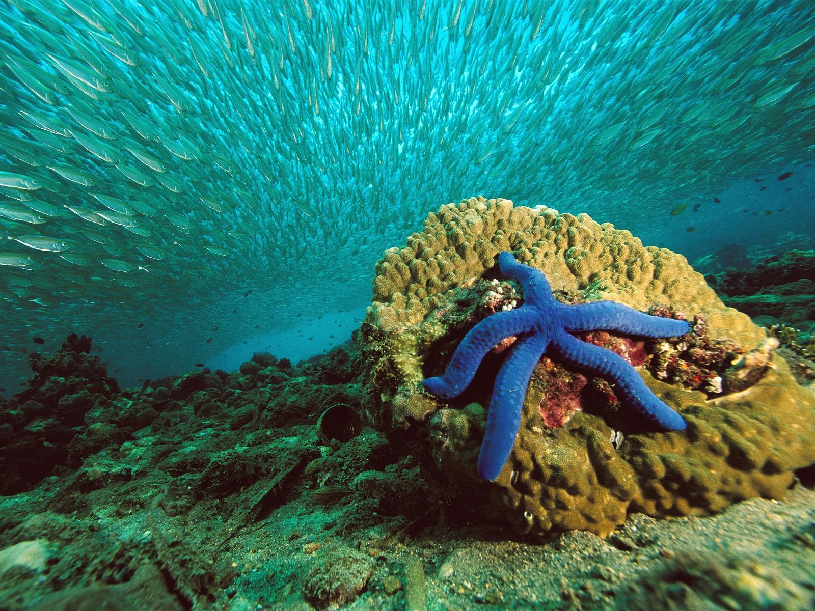 Blue Sea Star Wallpaper