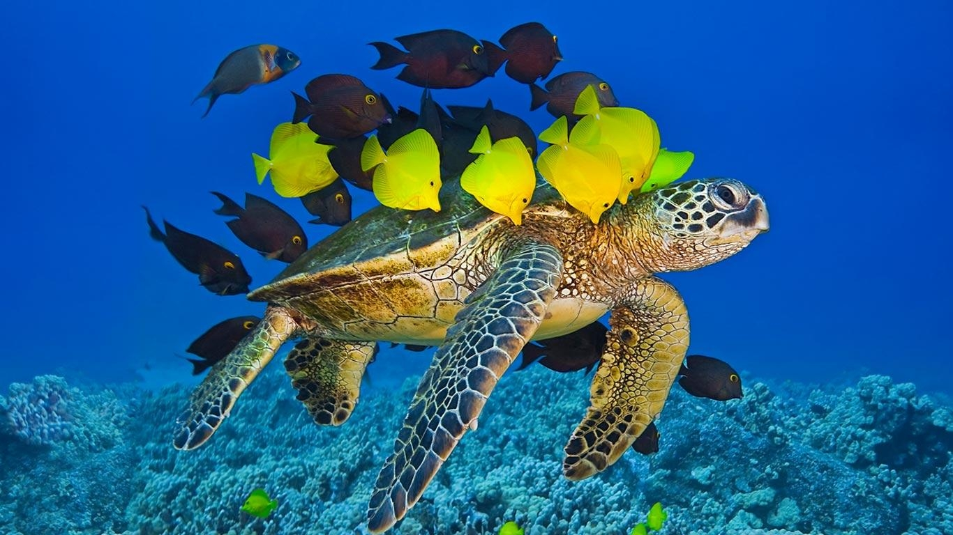 Bing Image Archive: Green sea turtle being cleaned by reef fish off the Kona Coast, Big Island, Hawaii (© Masa Ushioda/Aurora Photos)(Bing Australia)