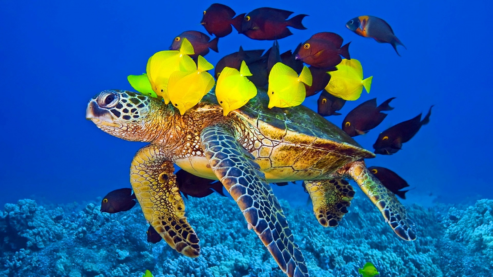 Sea Turtle Fish Wallpaper #80274 - Resolution 1600x900 px
