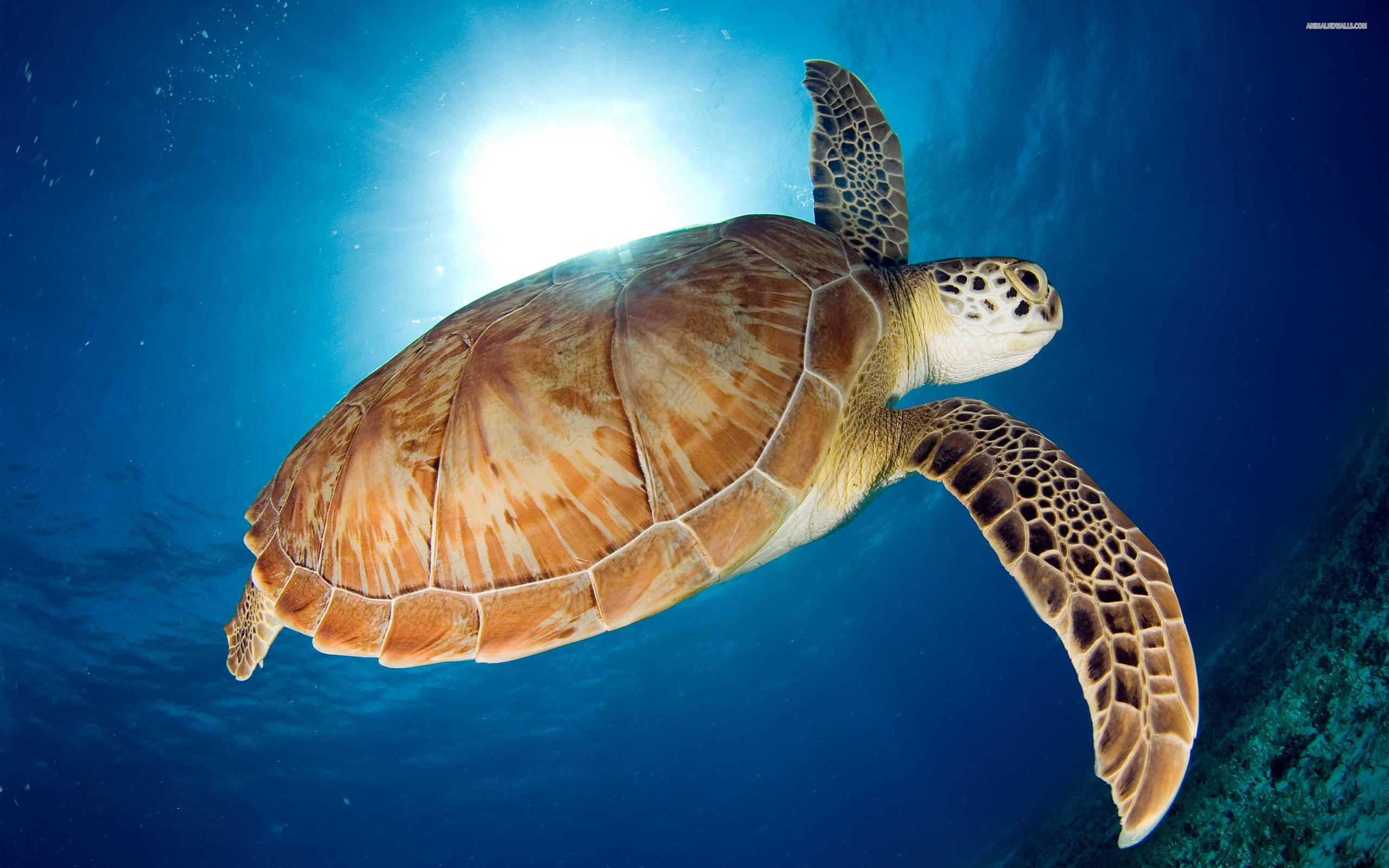 Sea turtle wallpaper 2560x1600