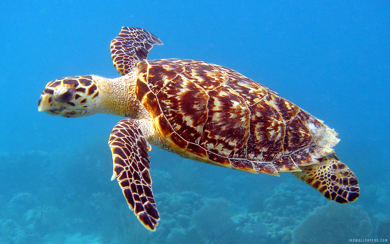 5.00/5. (1 vote). Download Underwater Sea Turtle wallpaper ...
