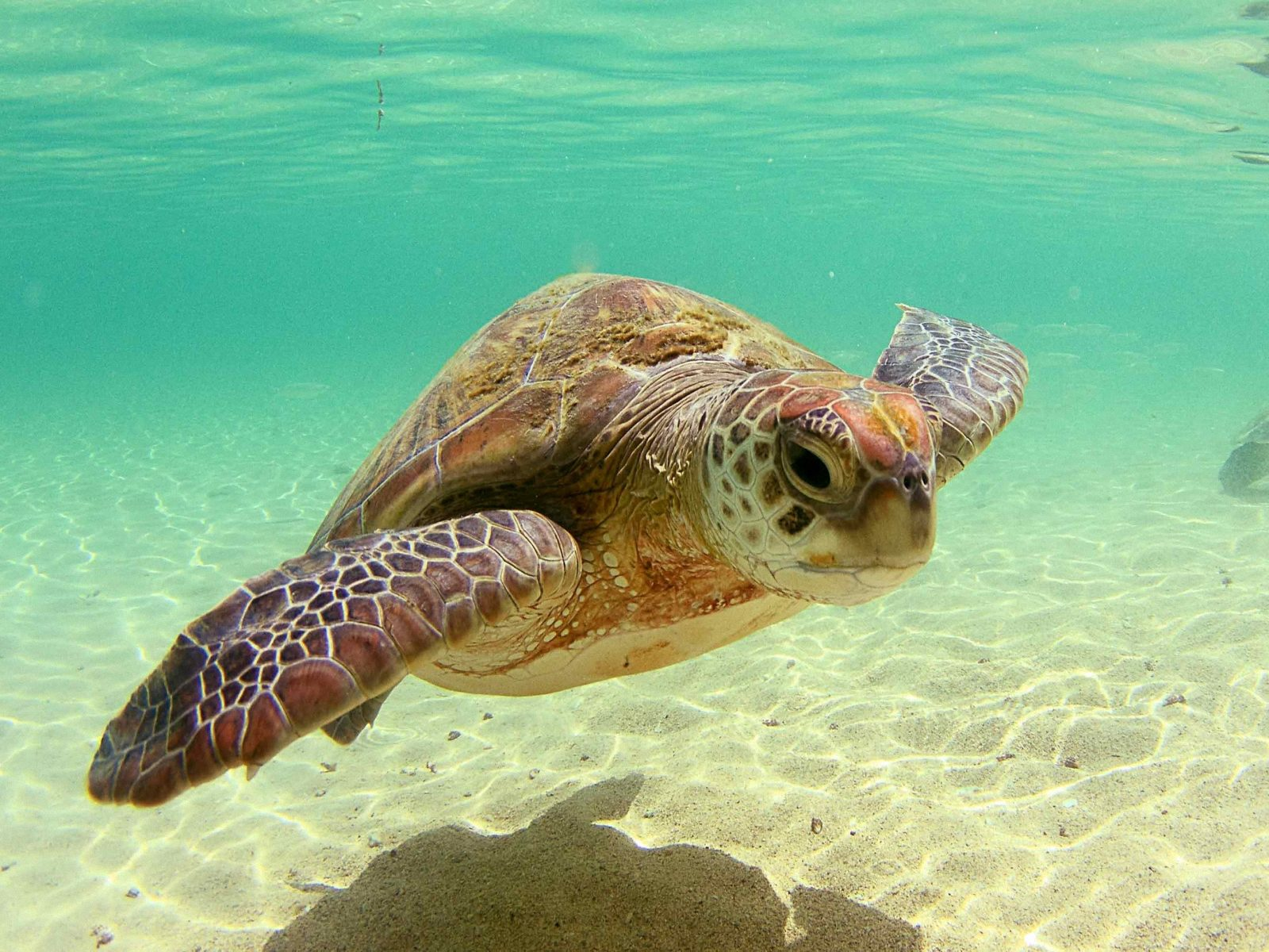 Sea Turtle Wallpaper