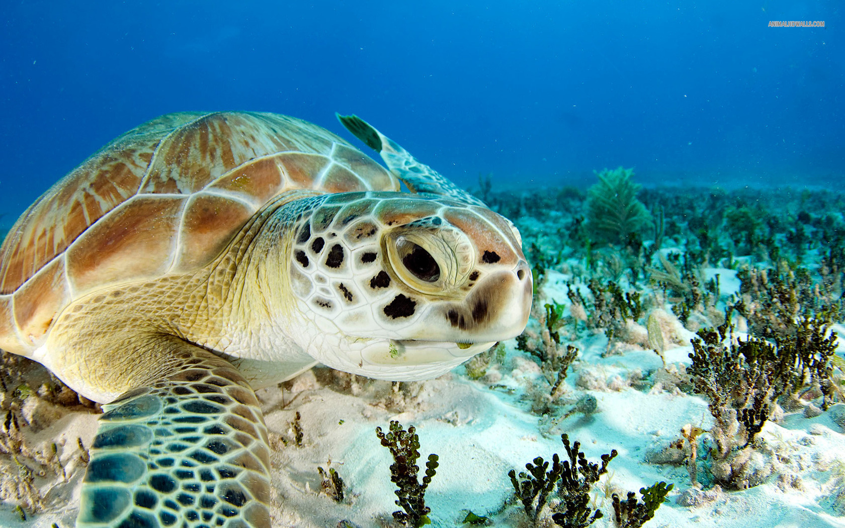 Sea Turtle Wallpaper 1680x1050
