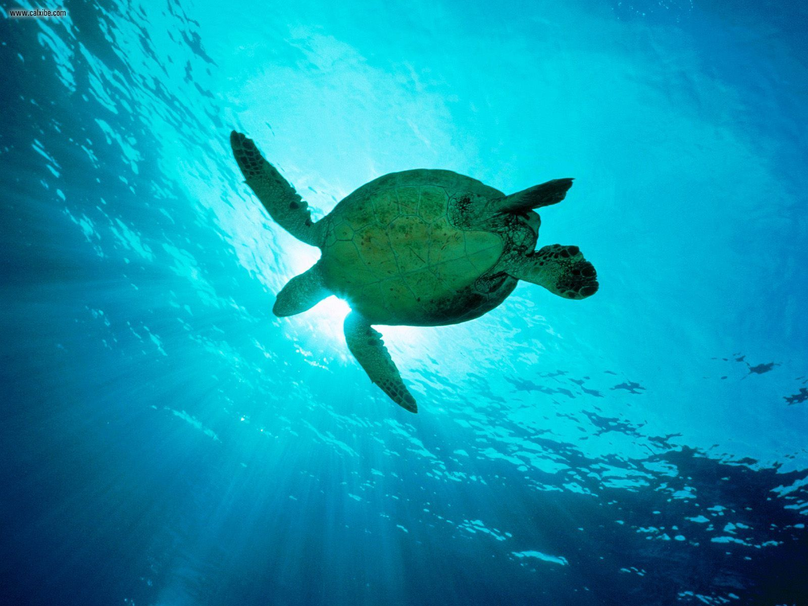 Sea Turtle Wallpaper-2