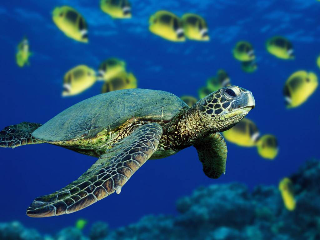 Buck Island Sea Turtle Movement Pattern Studied By National Research Organization -