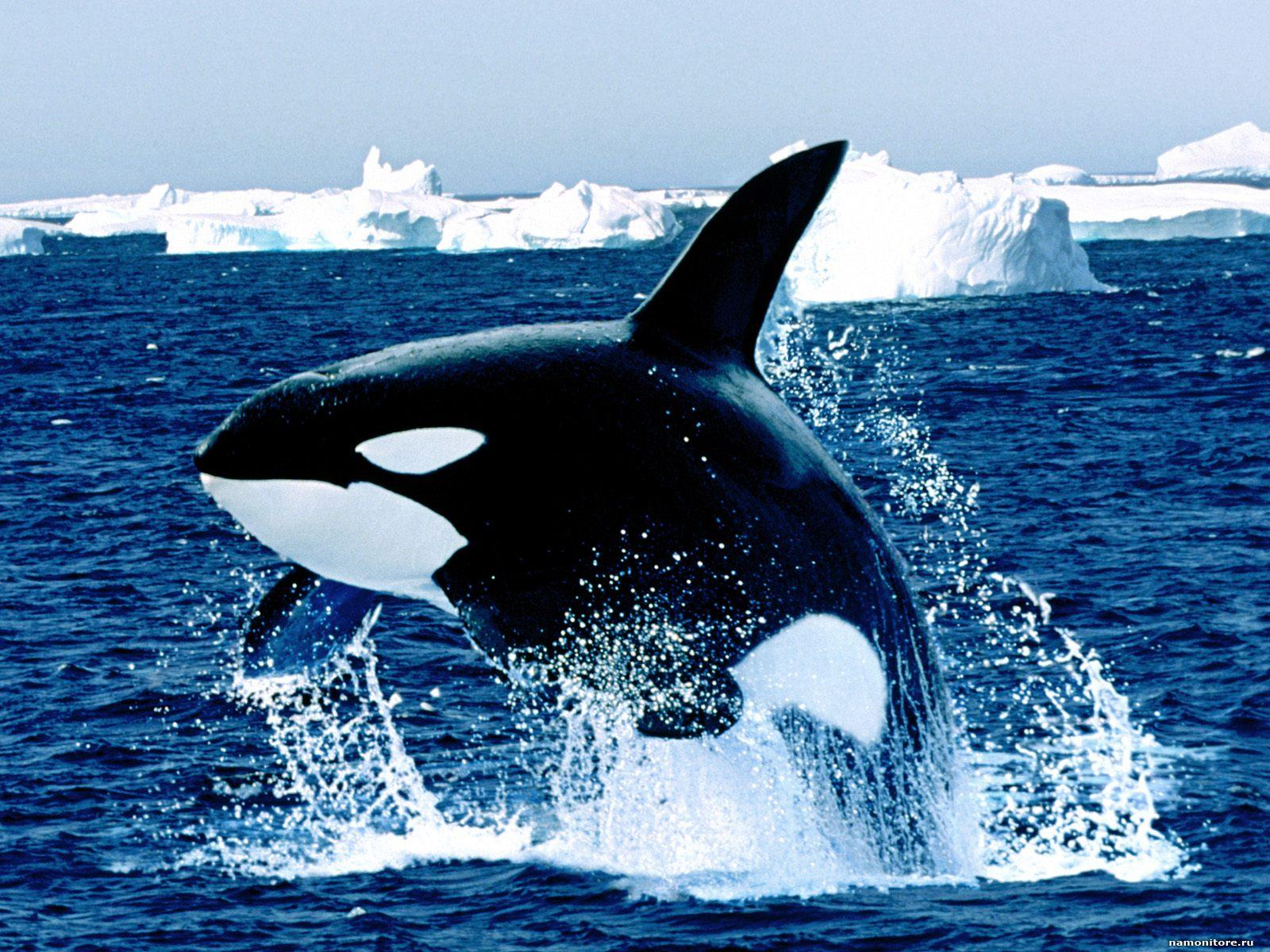 Killer Whale among ice floes, dark blue, sea, whales, whales 1600x1200