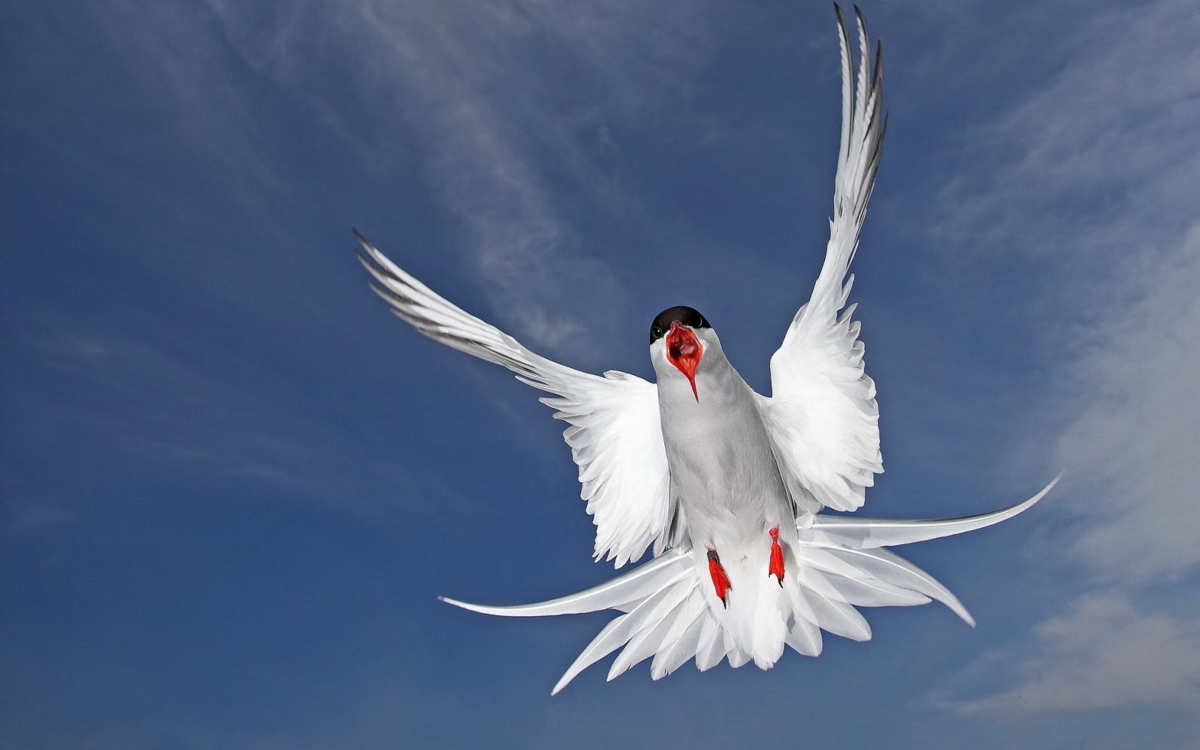 Seabird Arctic Tern
