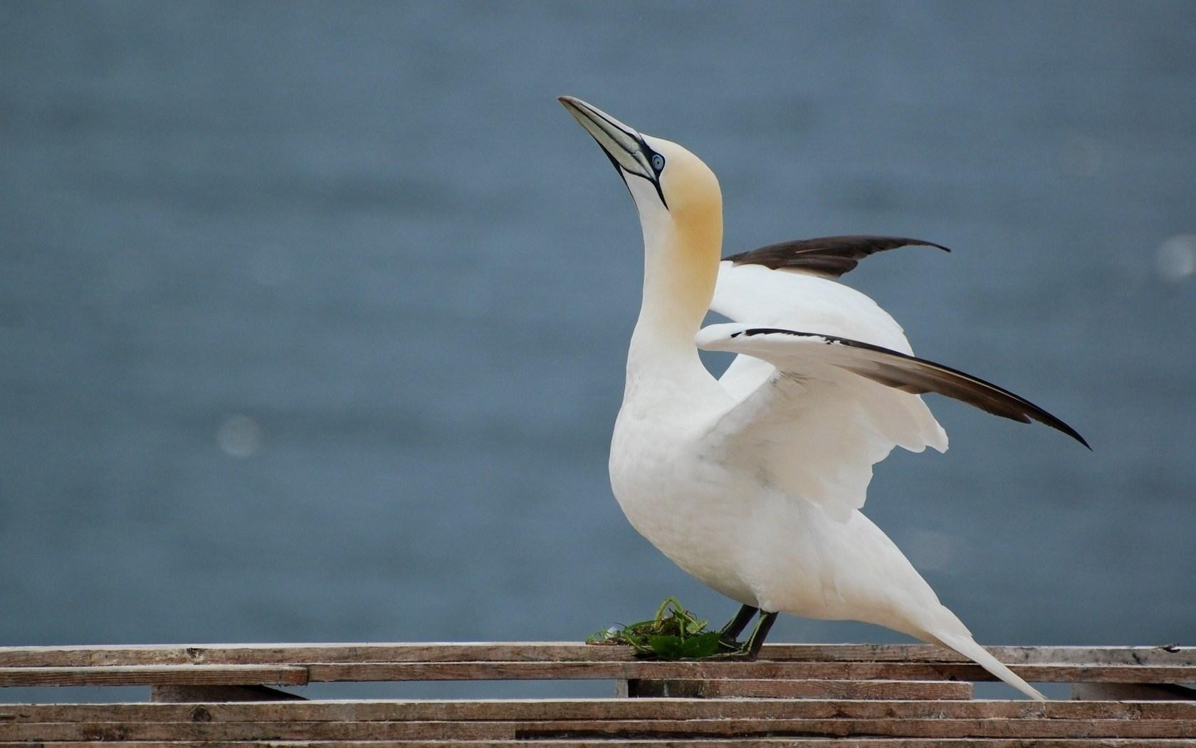 Gannet Seabird