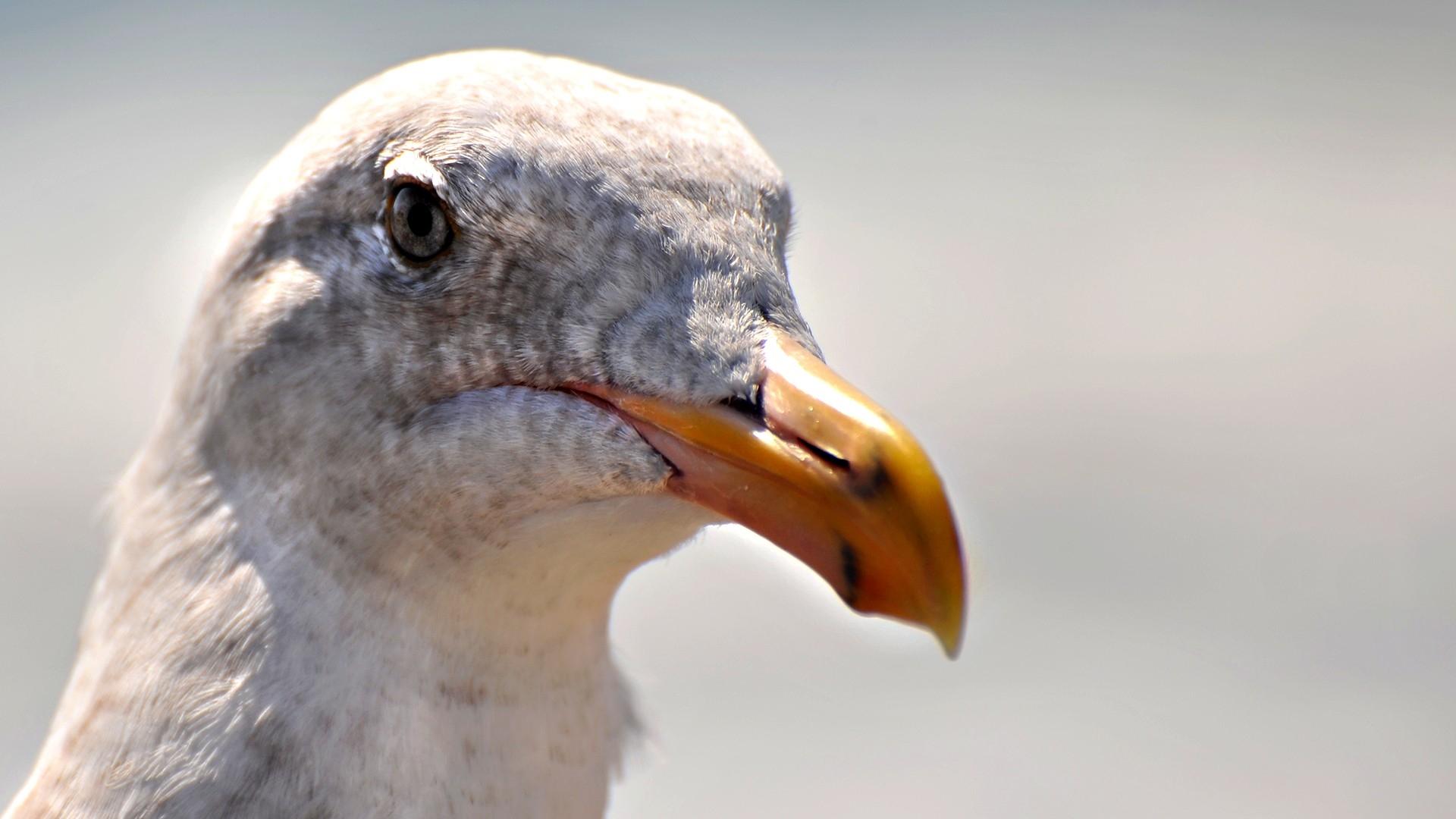 Seagull Bird Close-Up