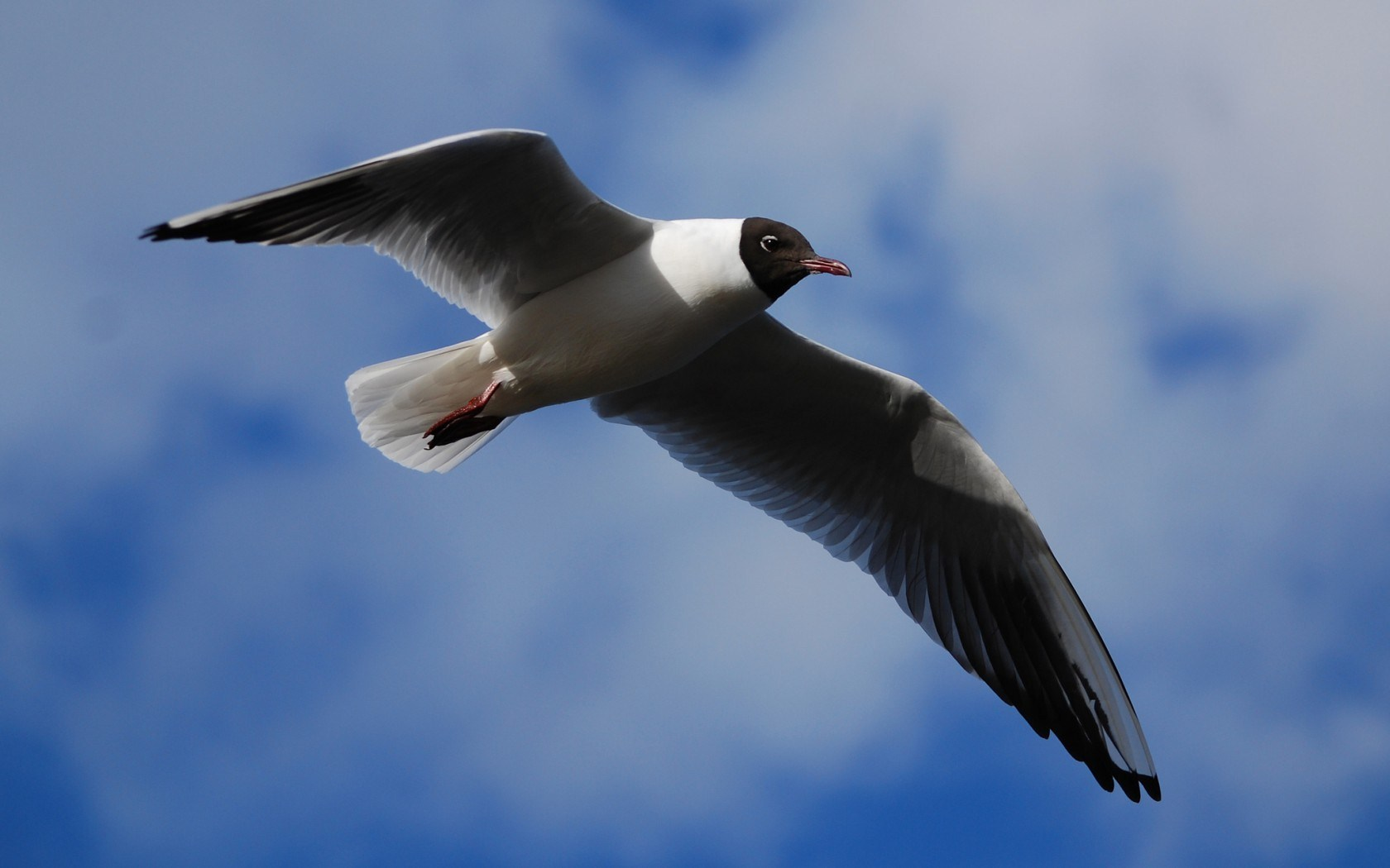 Seagull Bird Flight Sky