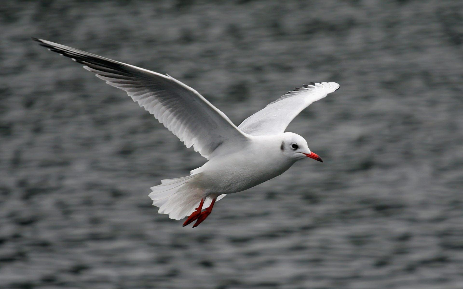 Seagull Bird Photo