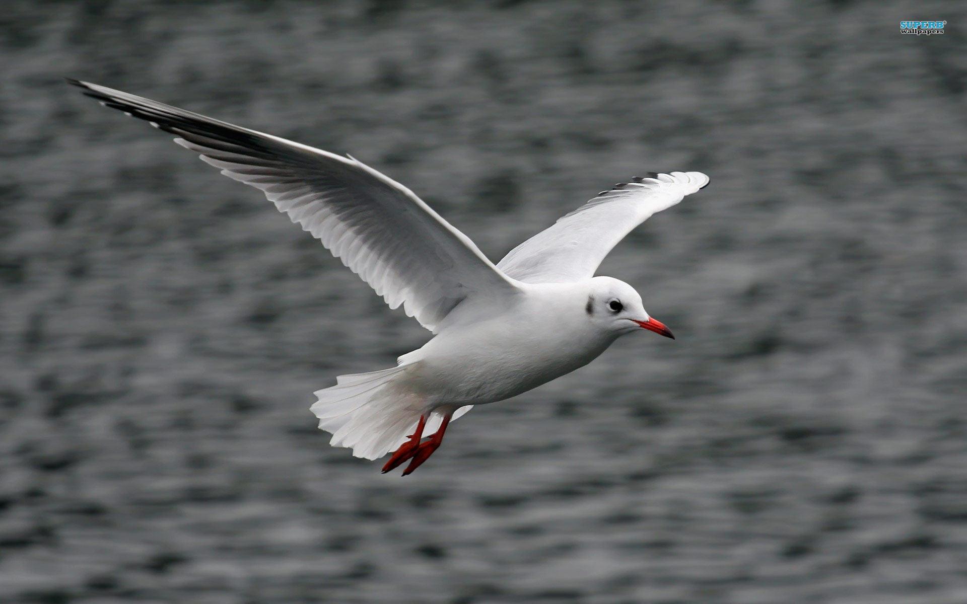 White Seagull Flying wallpaper 1920x1200 jpg