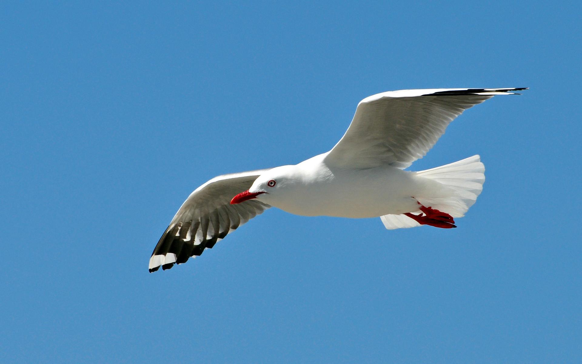 Seagulls HD