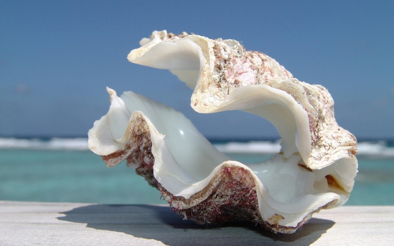 Seashell Wallpaper