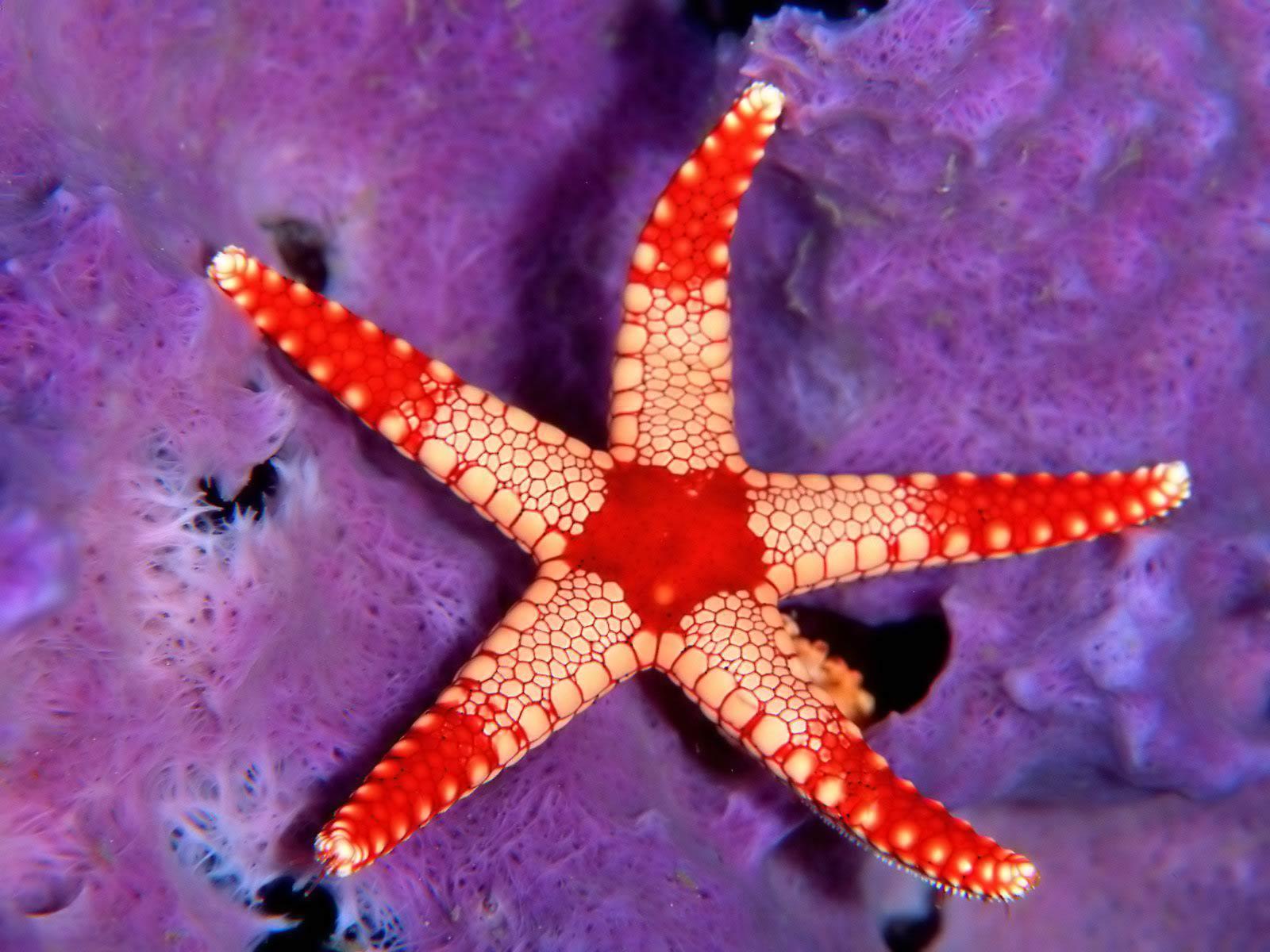 Desktop backgrounds · Animal Life · Underwater Sea Star - Palau, Micronesia