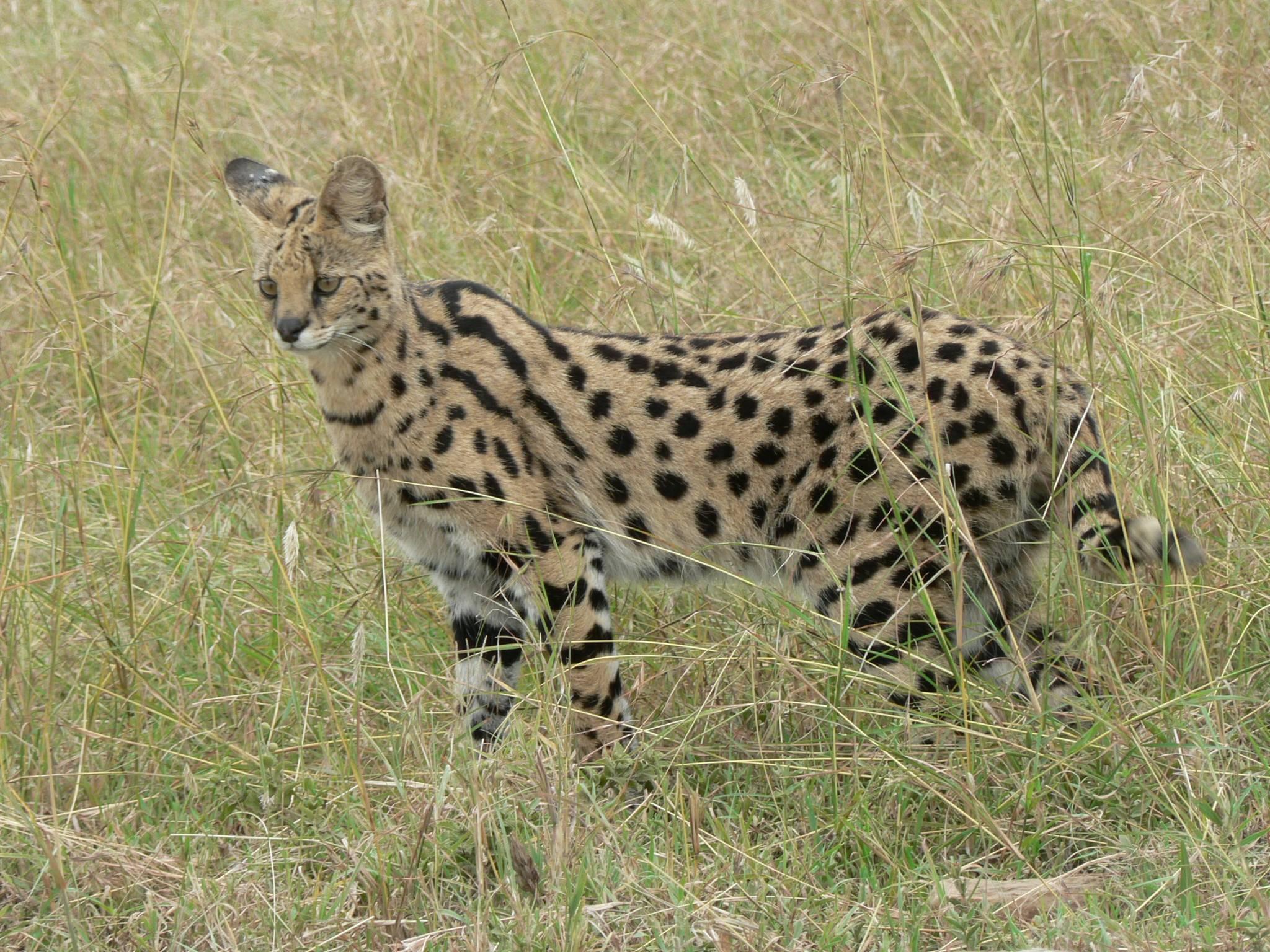 Serval in Tanzania