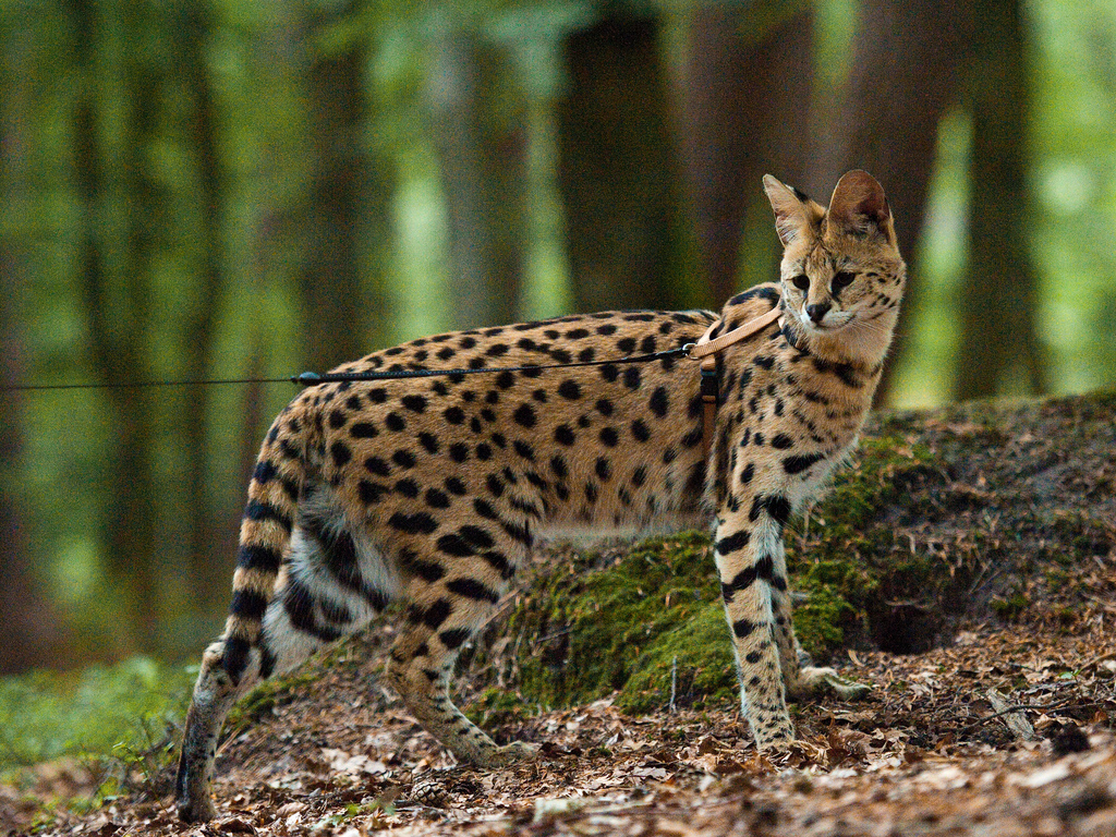 ... Serval | by Sonja & Roland
