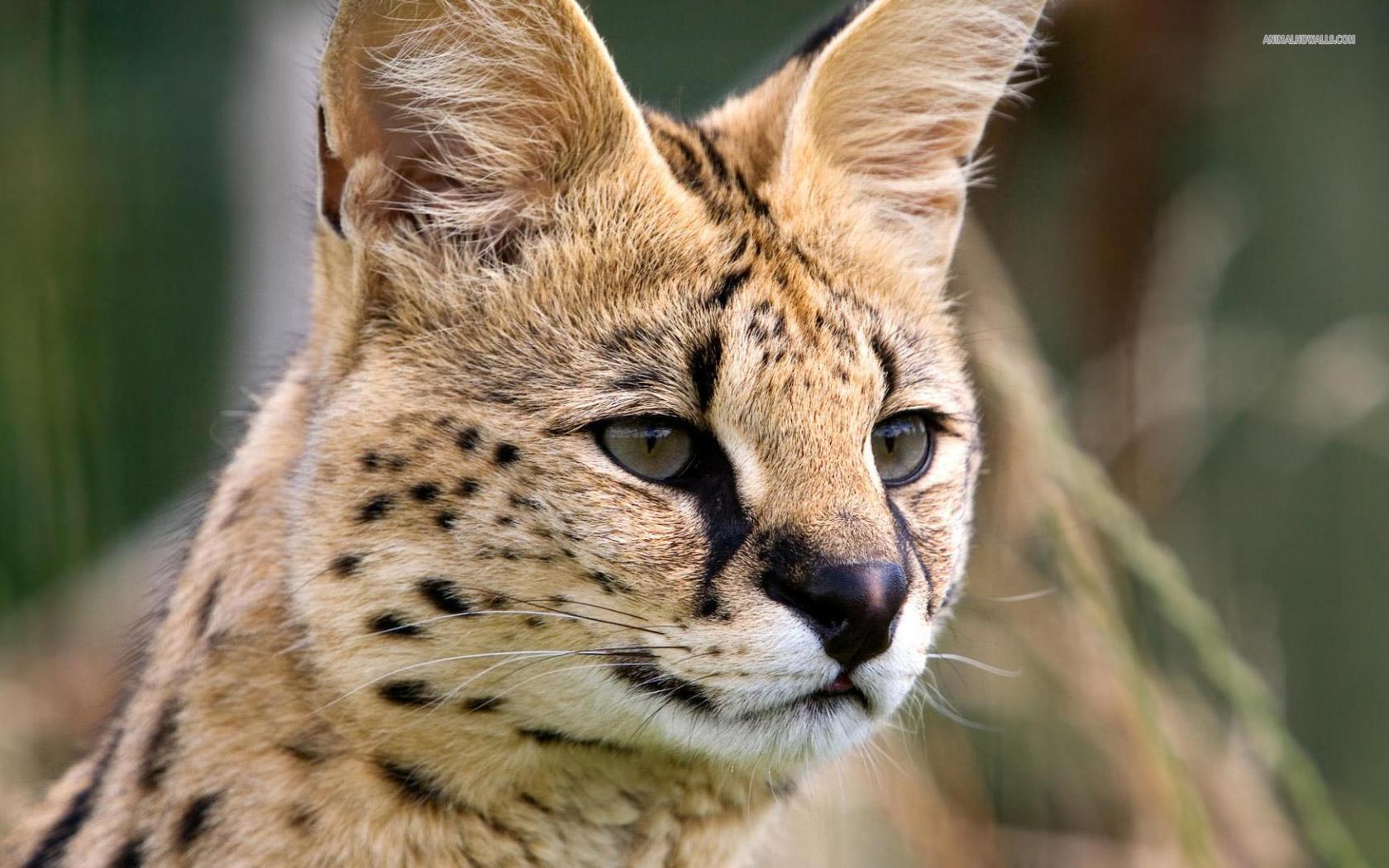 Serval Photos