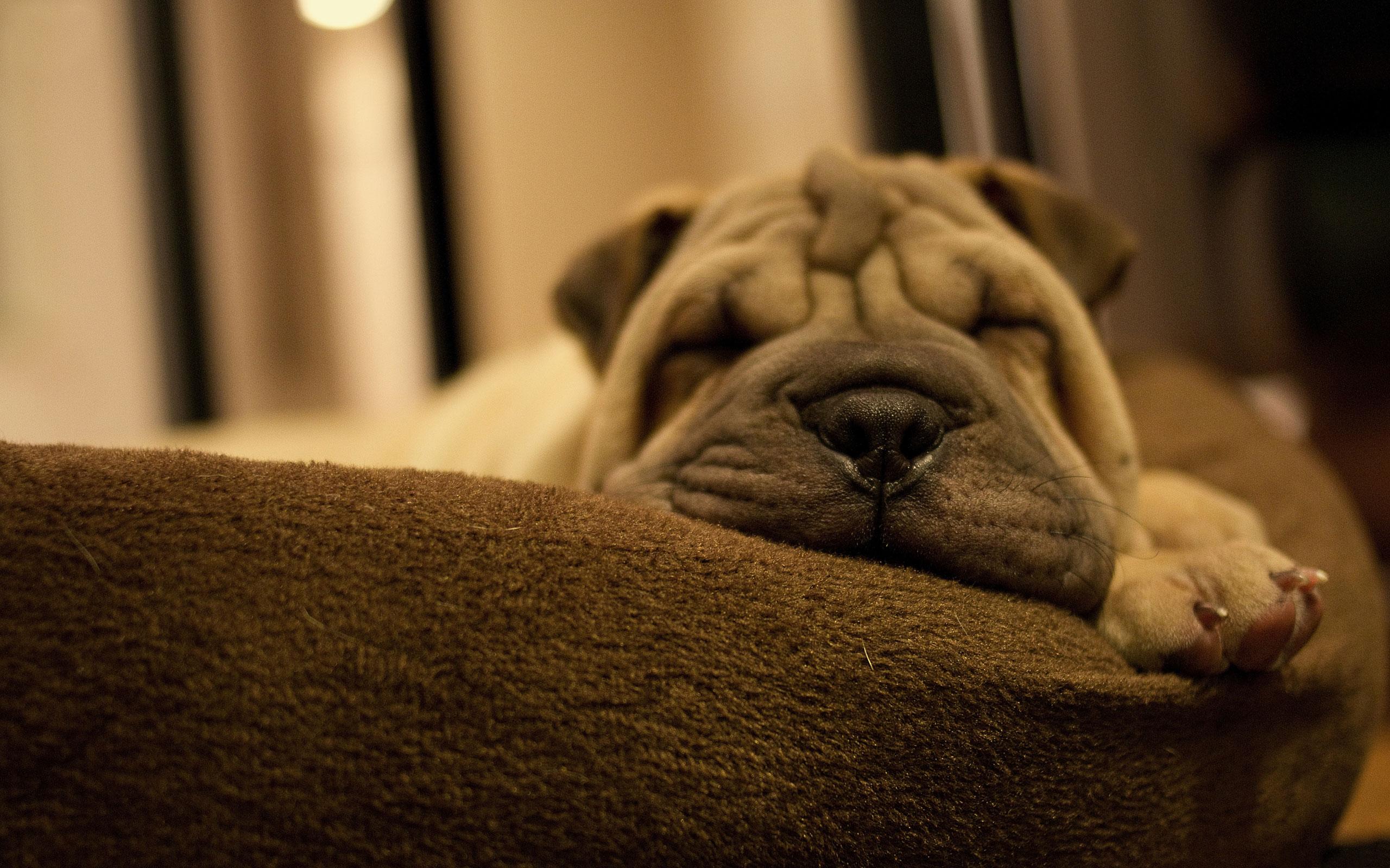 Shar Pei Puppy Sleep