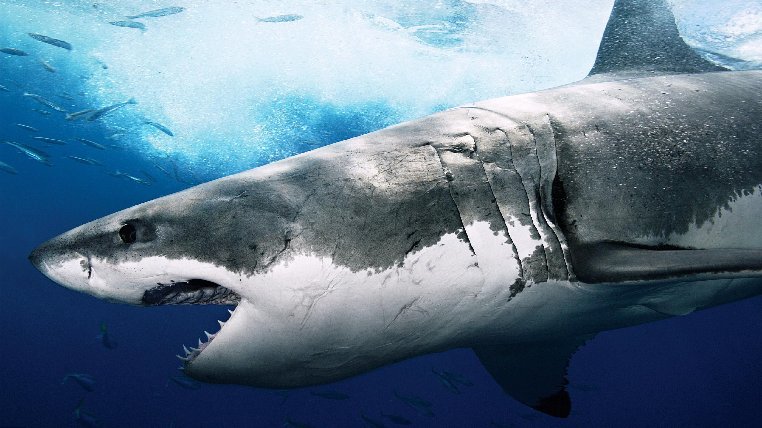 Description: The Wallpaper above is Huge shark Wallpaper in Resolution 2560x1440. Choose your Resolution and Download Huge shark Wallpaper