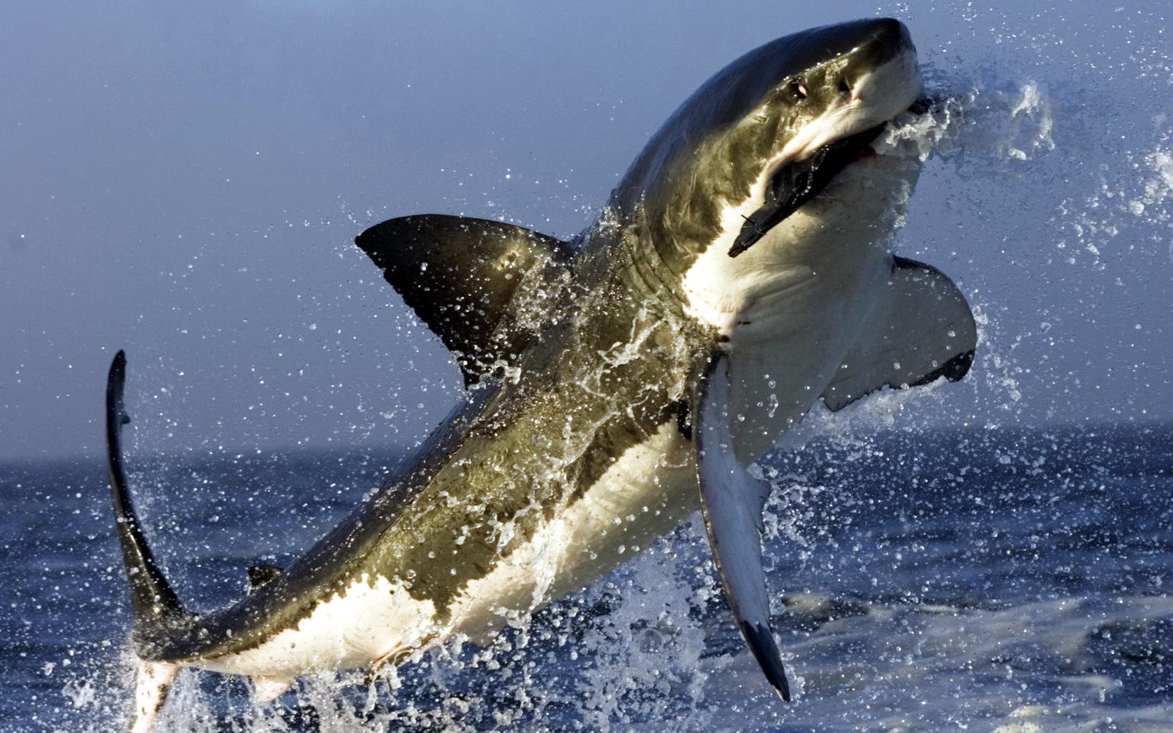 HD Wallpaper | Background ID:86820. 1680x1050 Animal Shark
