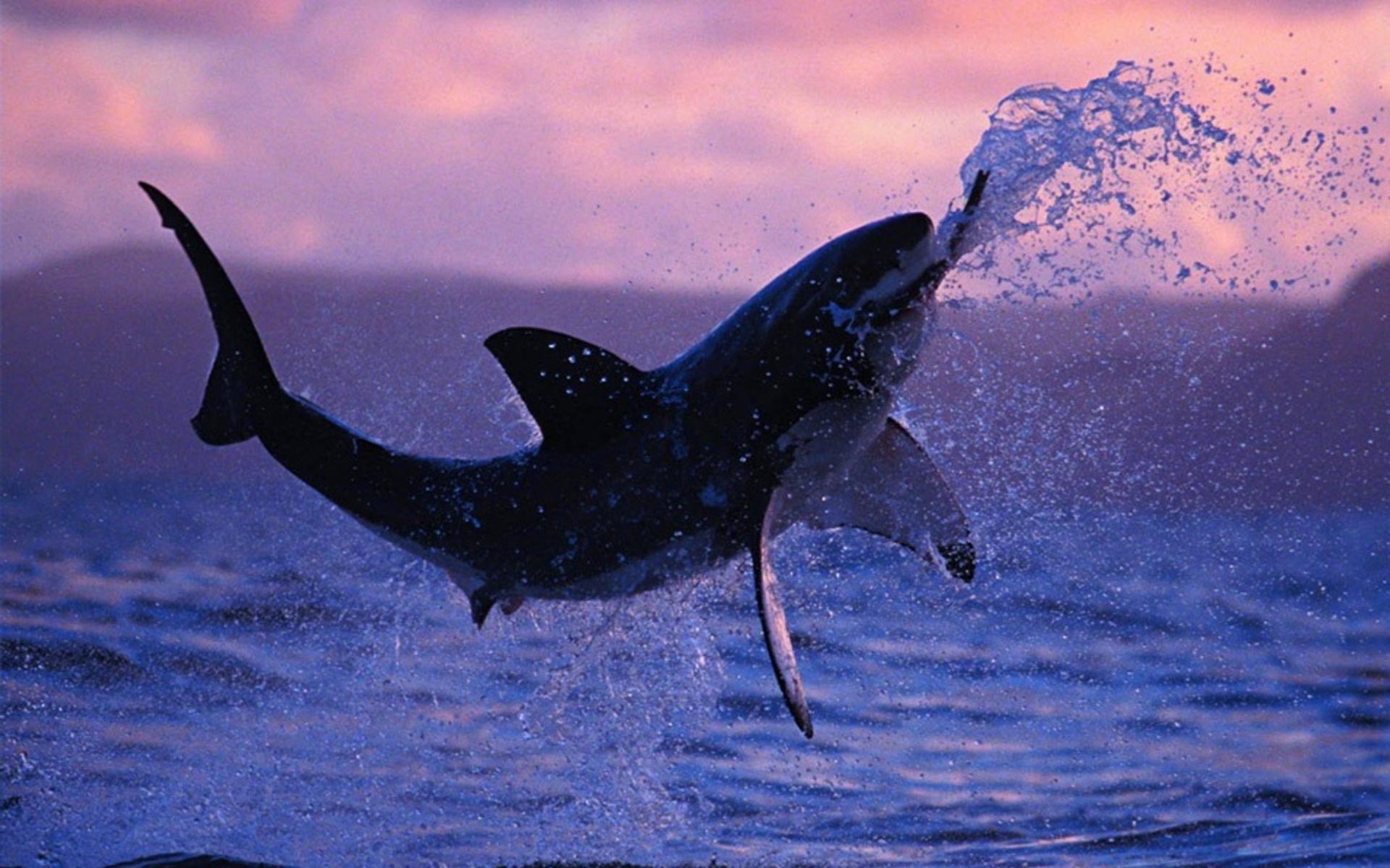 aerobatic shark