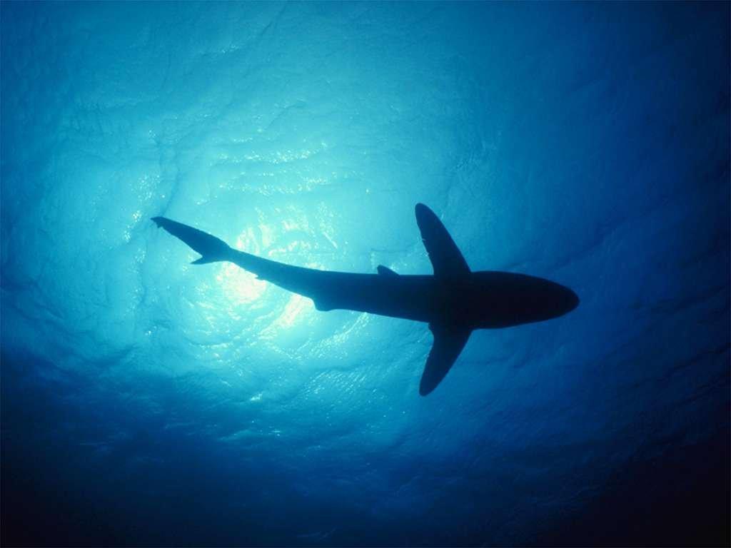 Shark Wallpaper 1527 Animal Cool