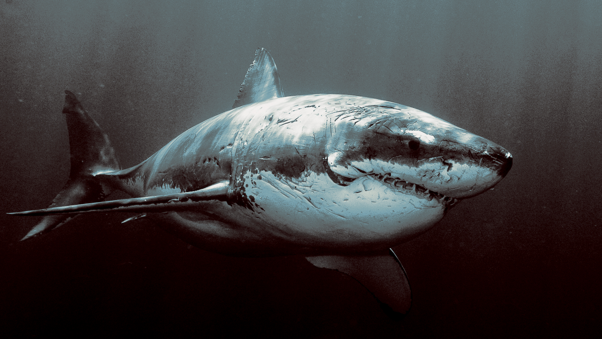 Shark HD Wallpaper