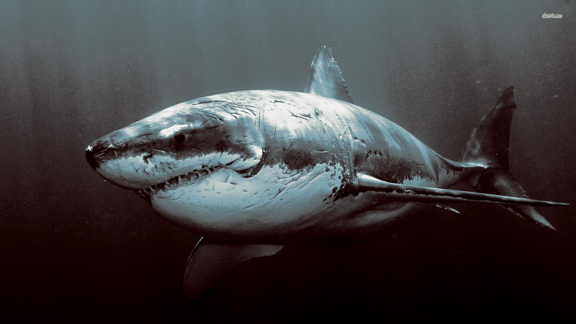 Shark download free wallpapers