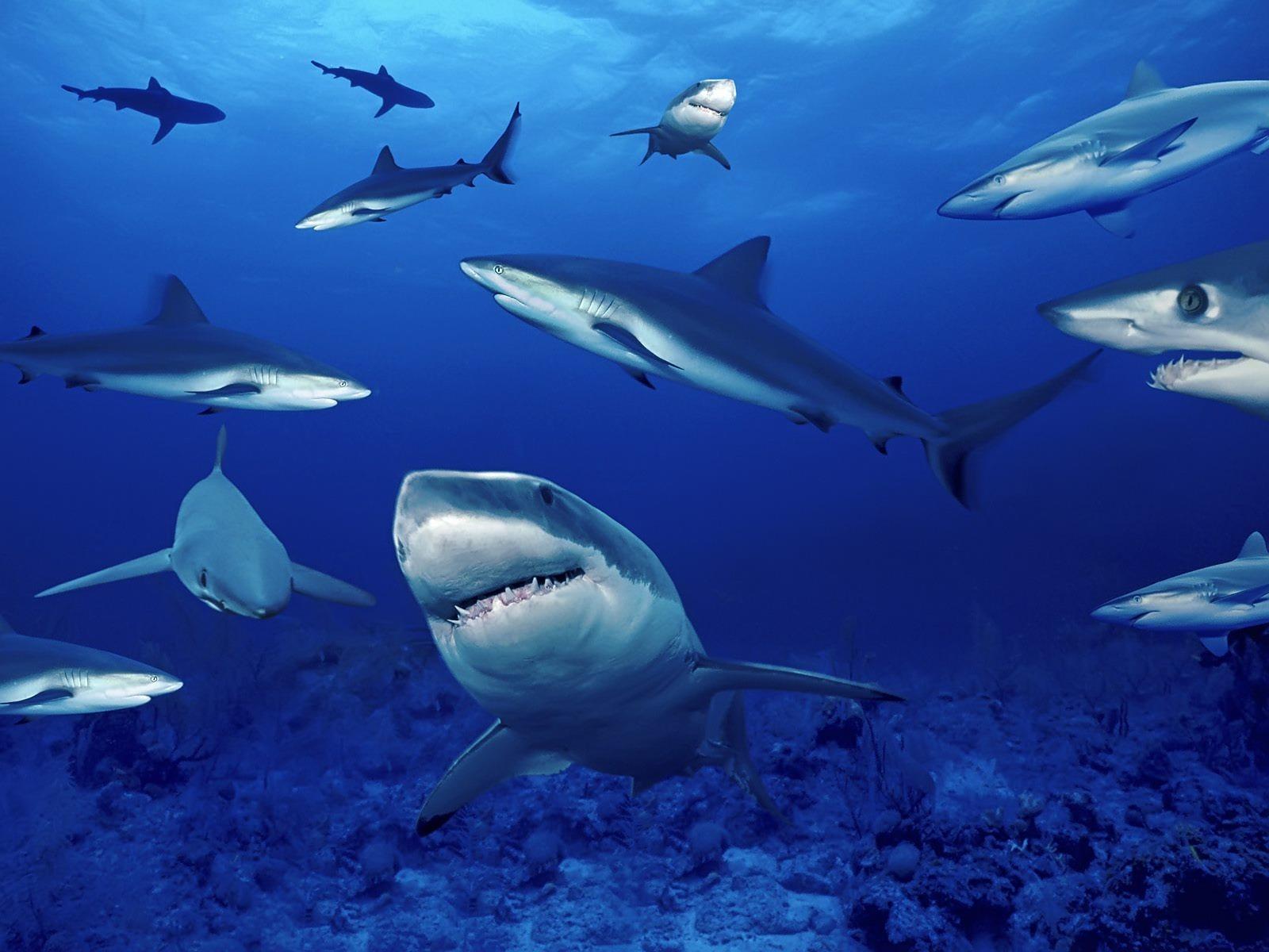 Sharks HD