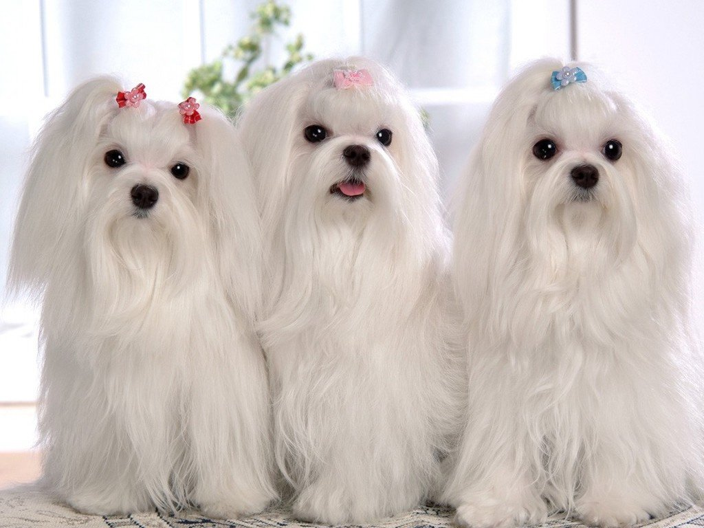 All Shih Tzu need love and affection because each one has different personality. Some of them can tolerate longer absence from their owners than others.