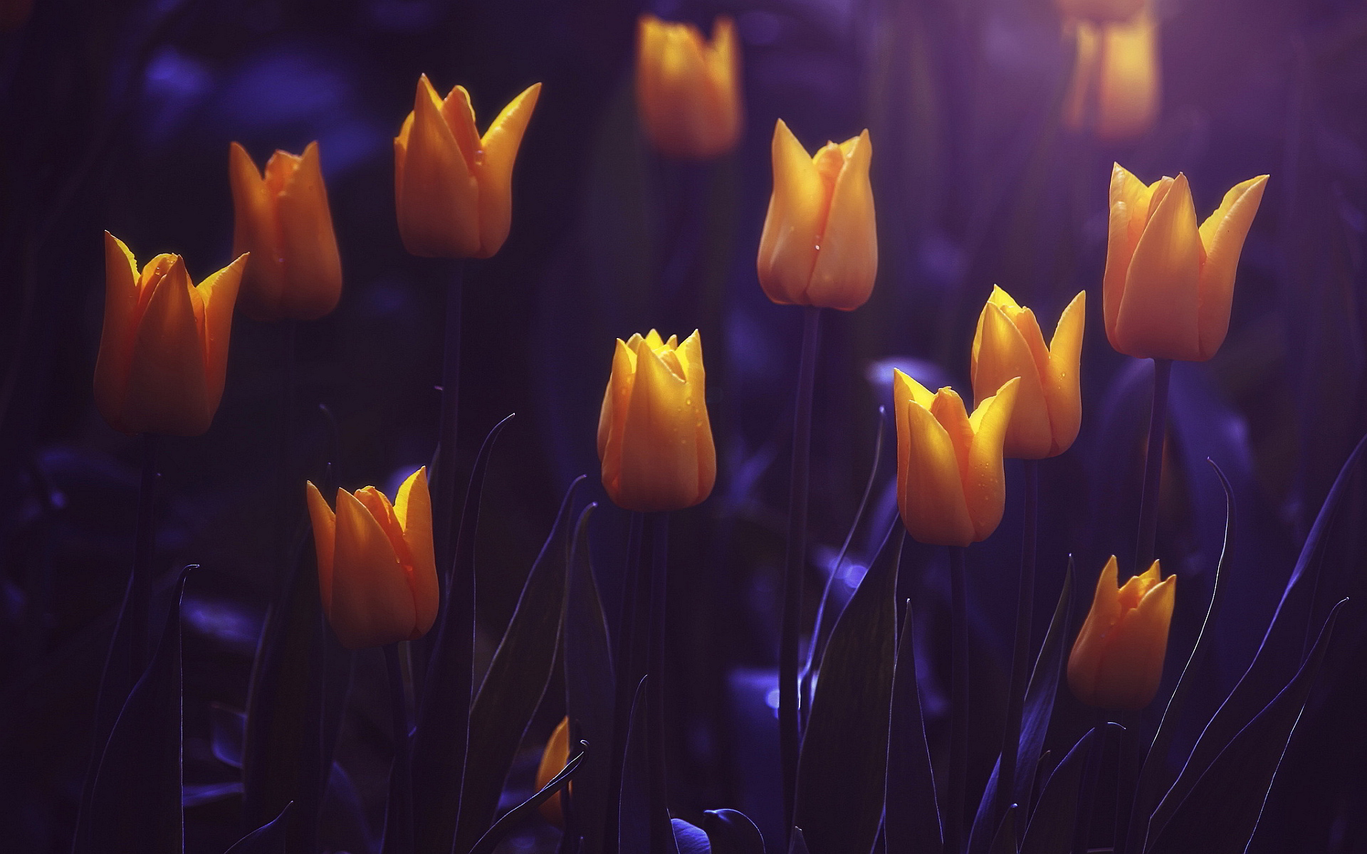 Shining yellow tulips