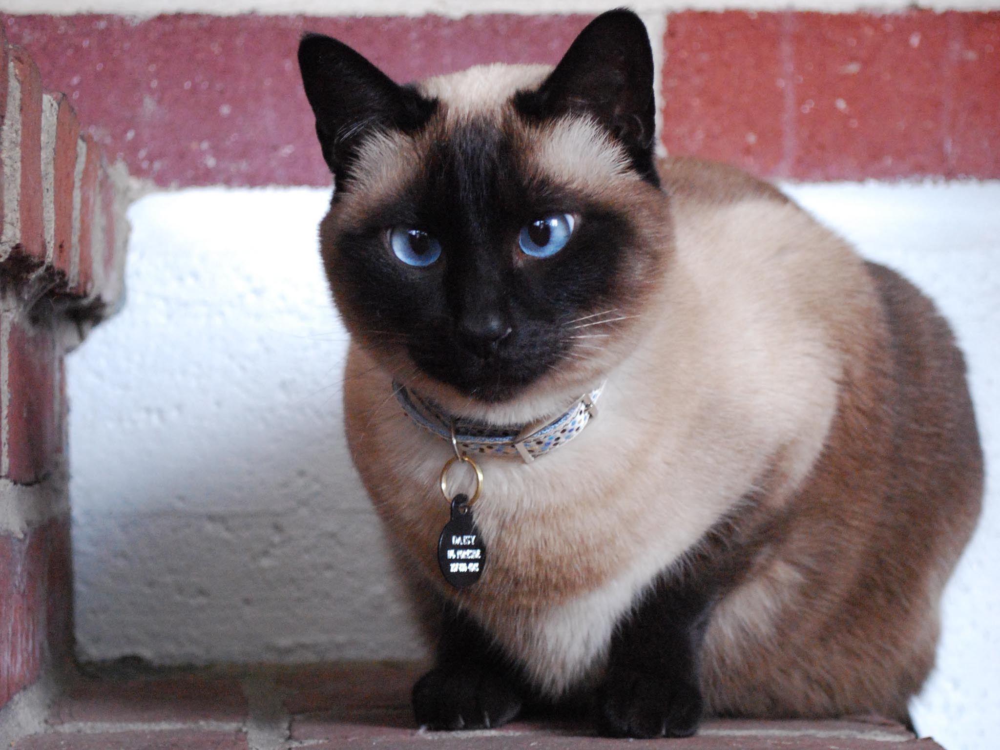 original wallpaper download: Beautiful blue-eyed Siamese cat - 2048x1536