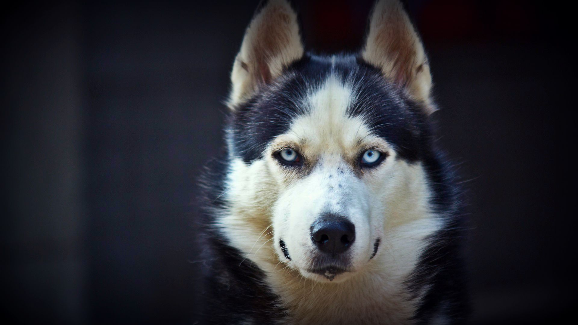 ... Siberian-Husky-Wallpaper-28 ...