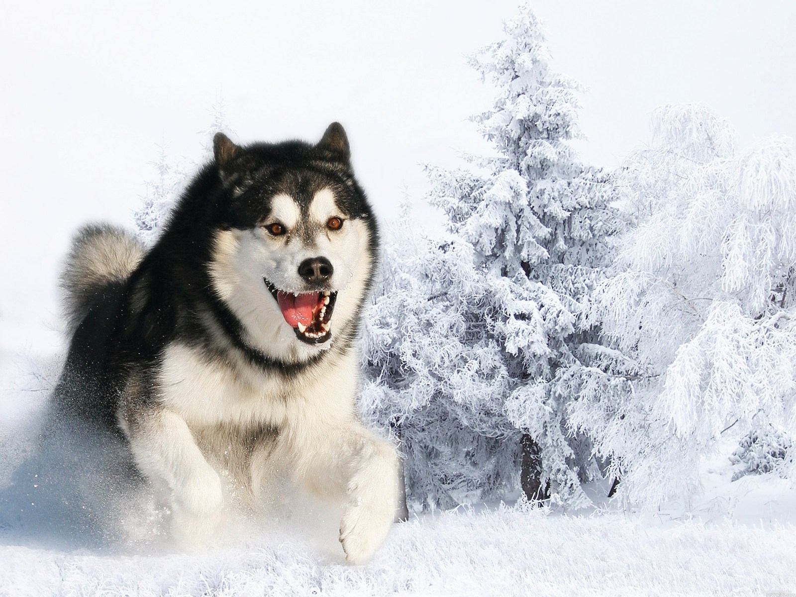 Huskies dogs hd wallpapers cool desktop photos widescreen