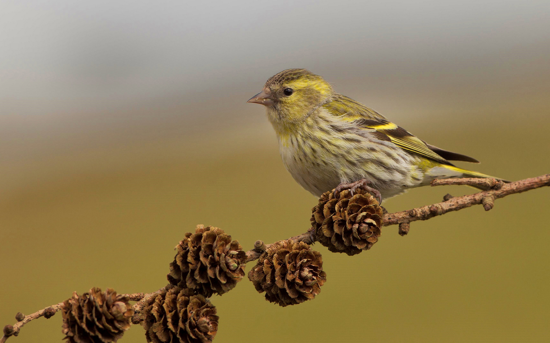Siskin bird on branch