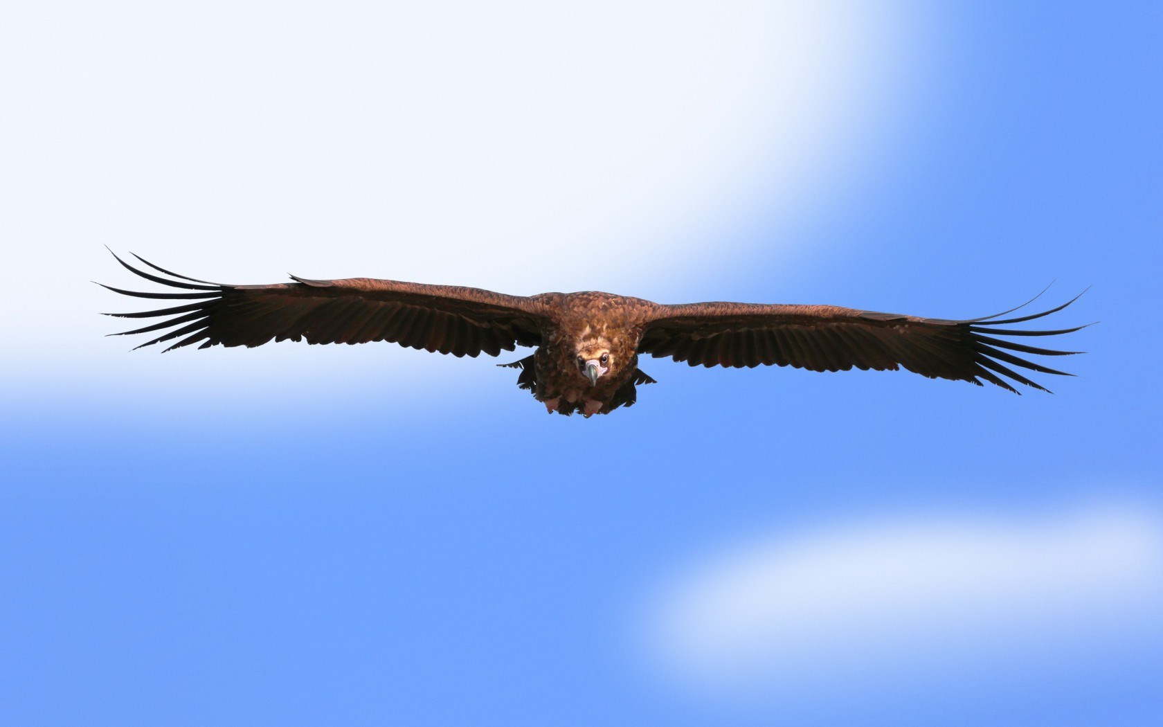 Sky Bird Eagle wallpaper | 1680x1050 | #14206