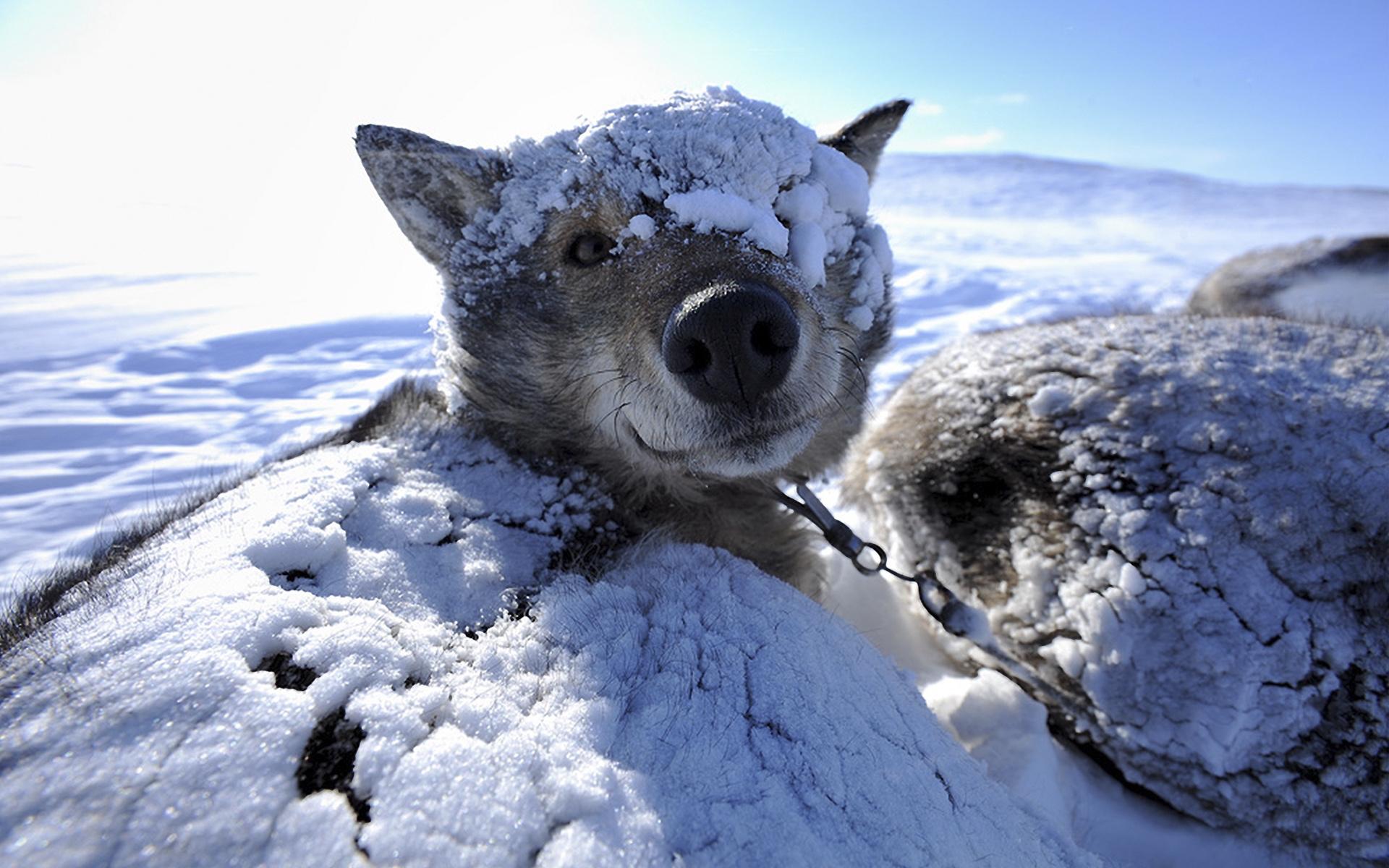 Sled dog husky wake up