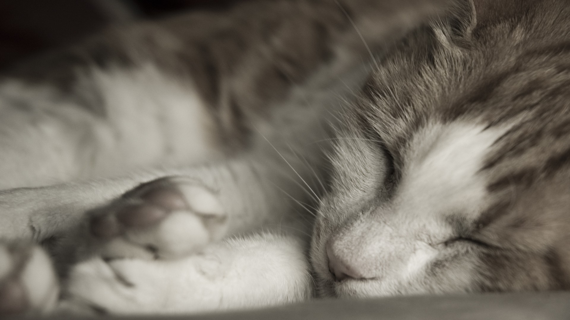 Sleeping Cat Close Up Wallpaper