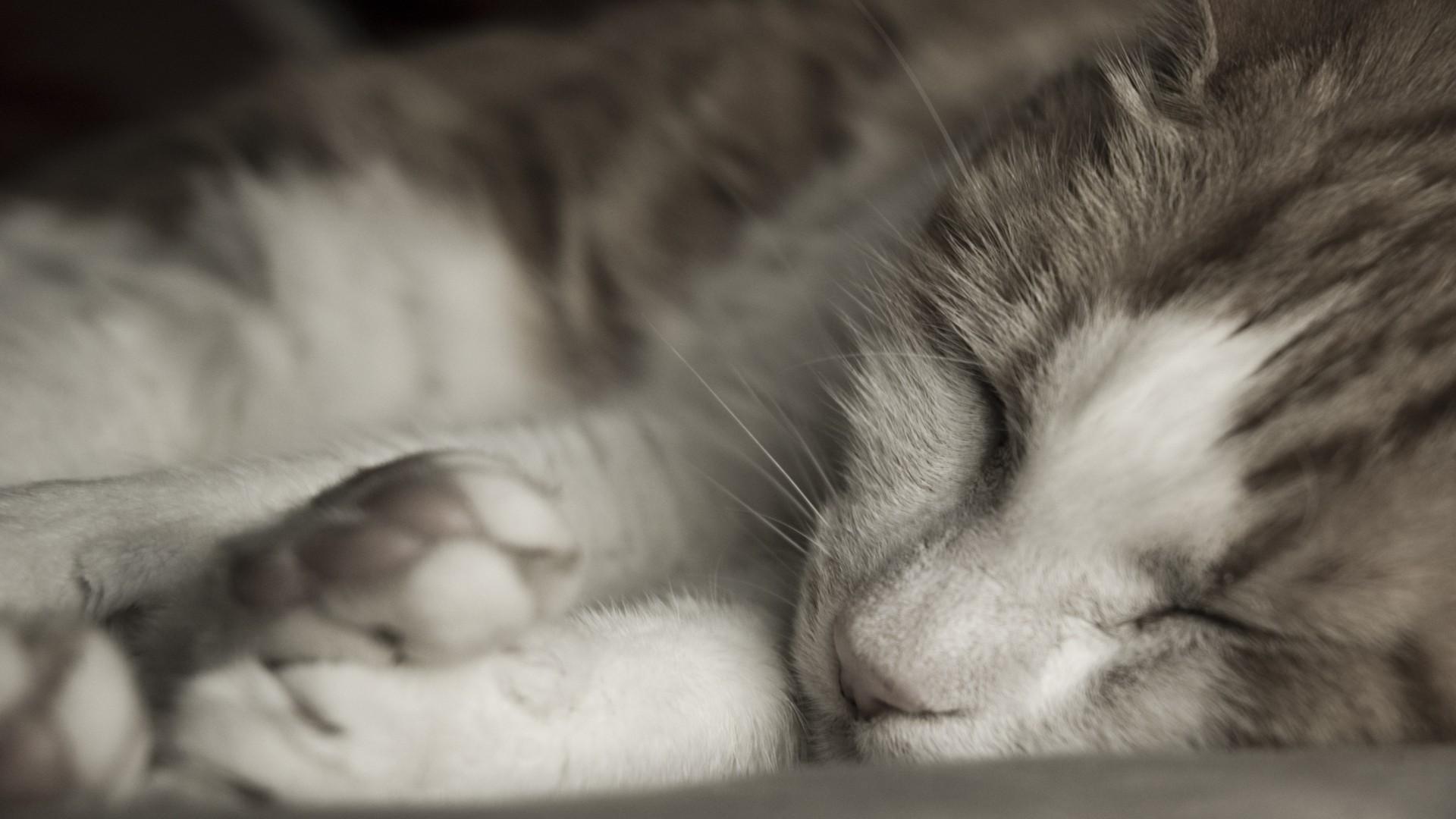 Sleeping Cat Close Up Wallpaper