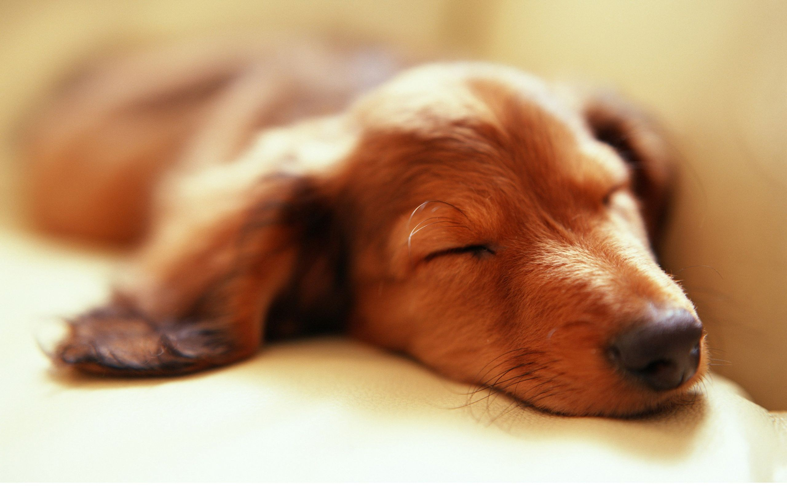 Sleeping dachshund